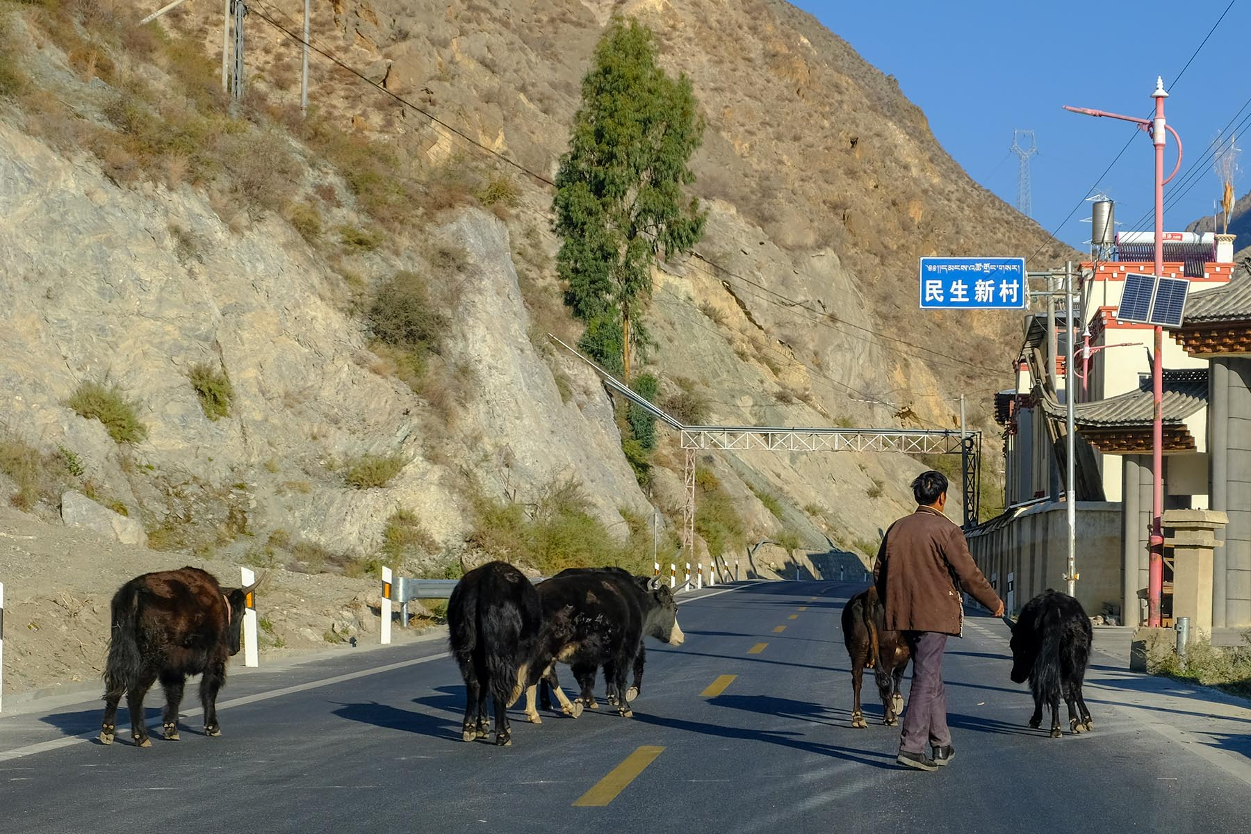Kühe auf der Straße in Yunnan, China im Herbst
