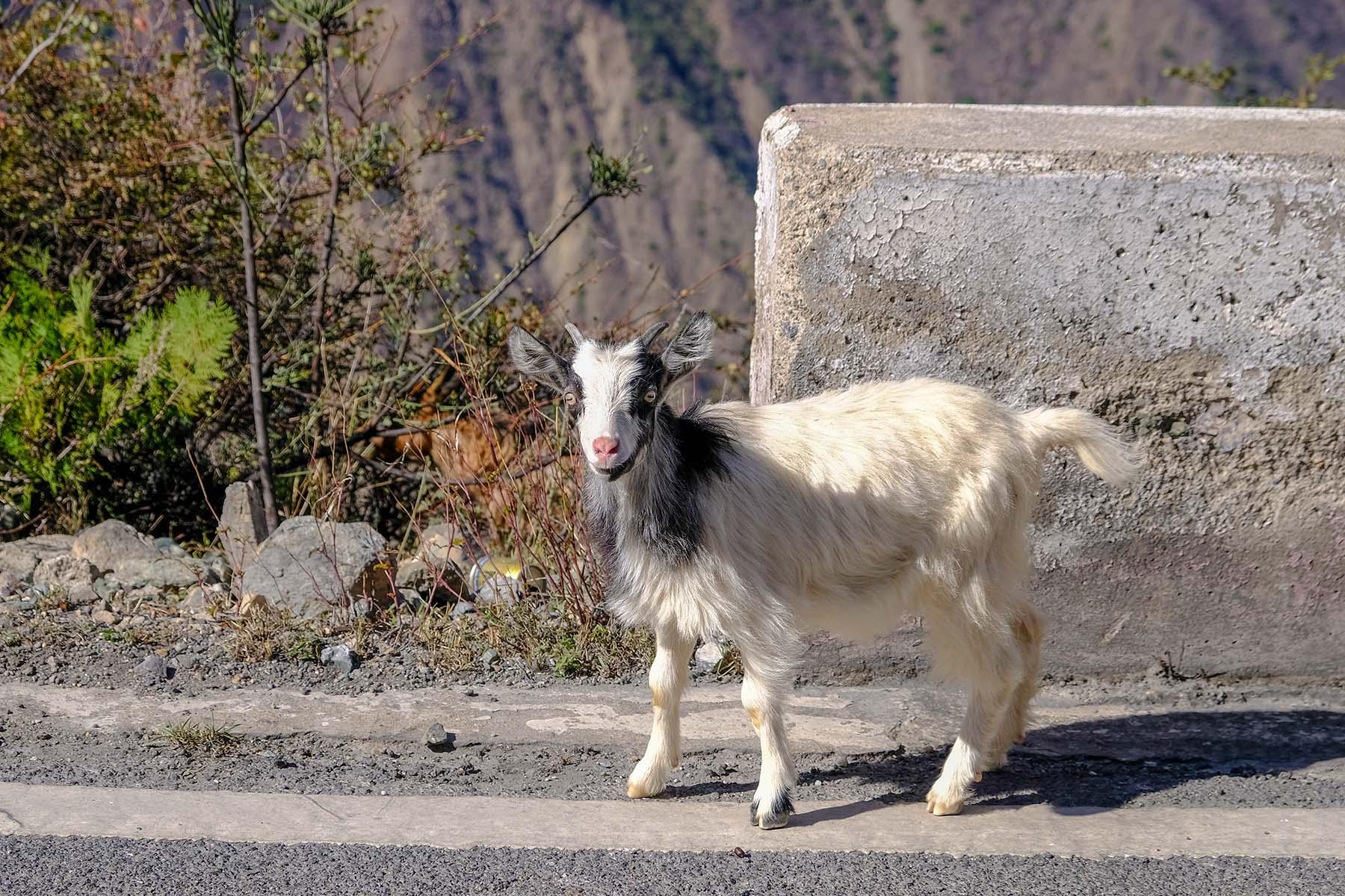 Ziege am Straßenrand in den Bergen in Yunnan, China