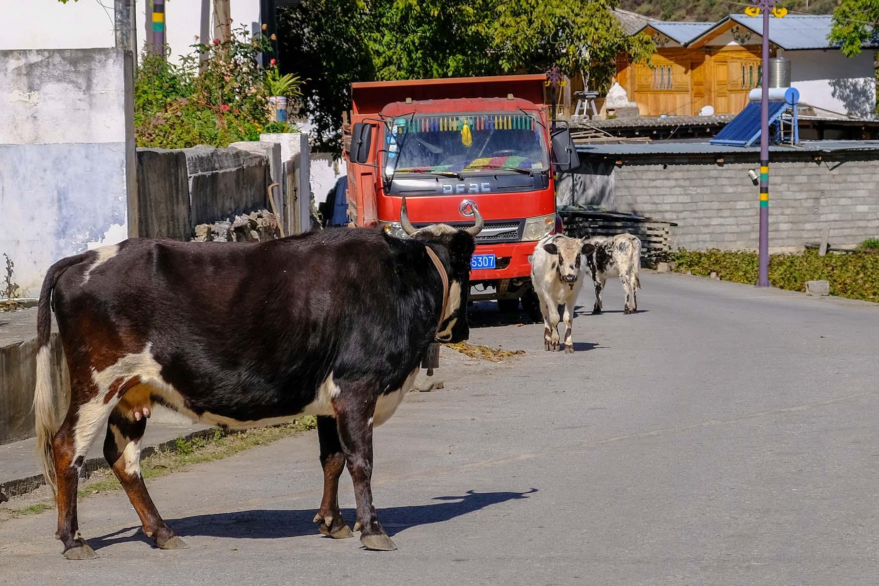Eine Kuh auf der Straße in den Bergen in Yunnan, China