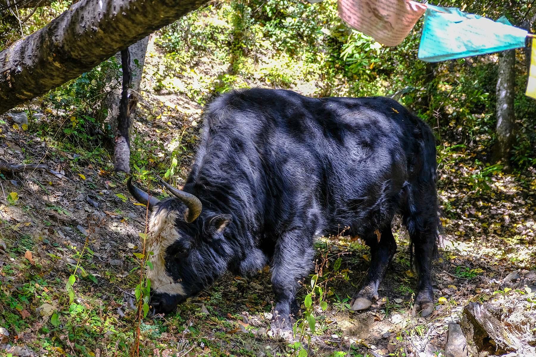 Eine Kuh im Wald nahe des Mingyong Gletschers in Yunnan, China im Herbst