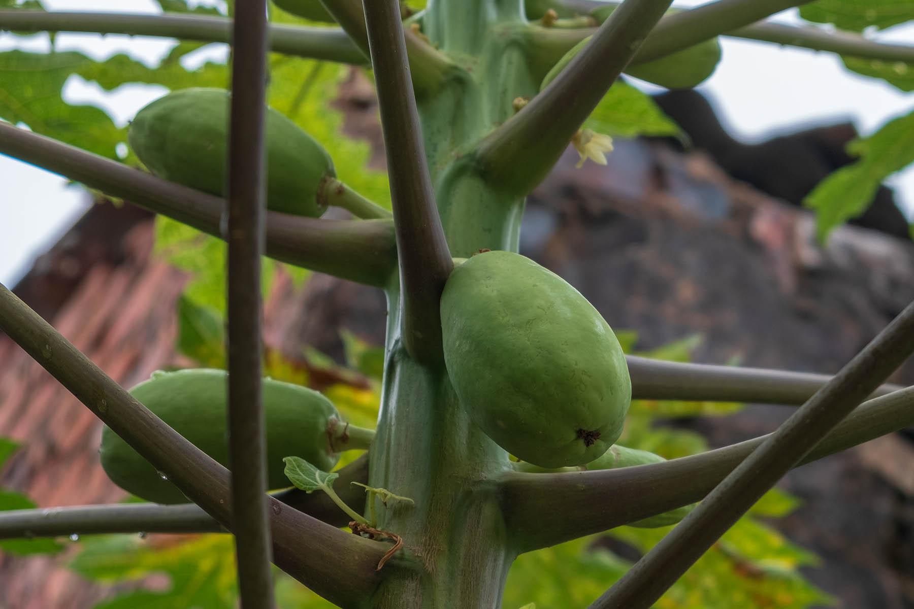 Papaya Baum in Zhangjiao in der Provinz Fujian, China