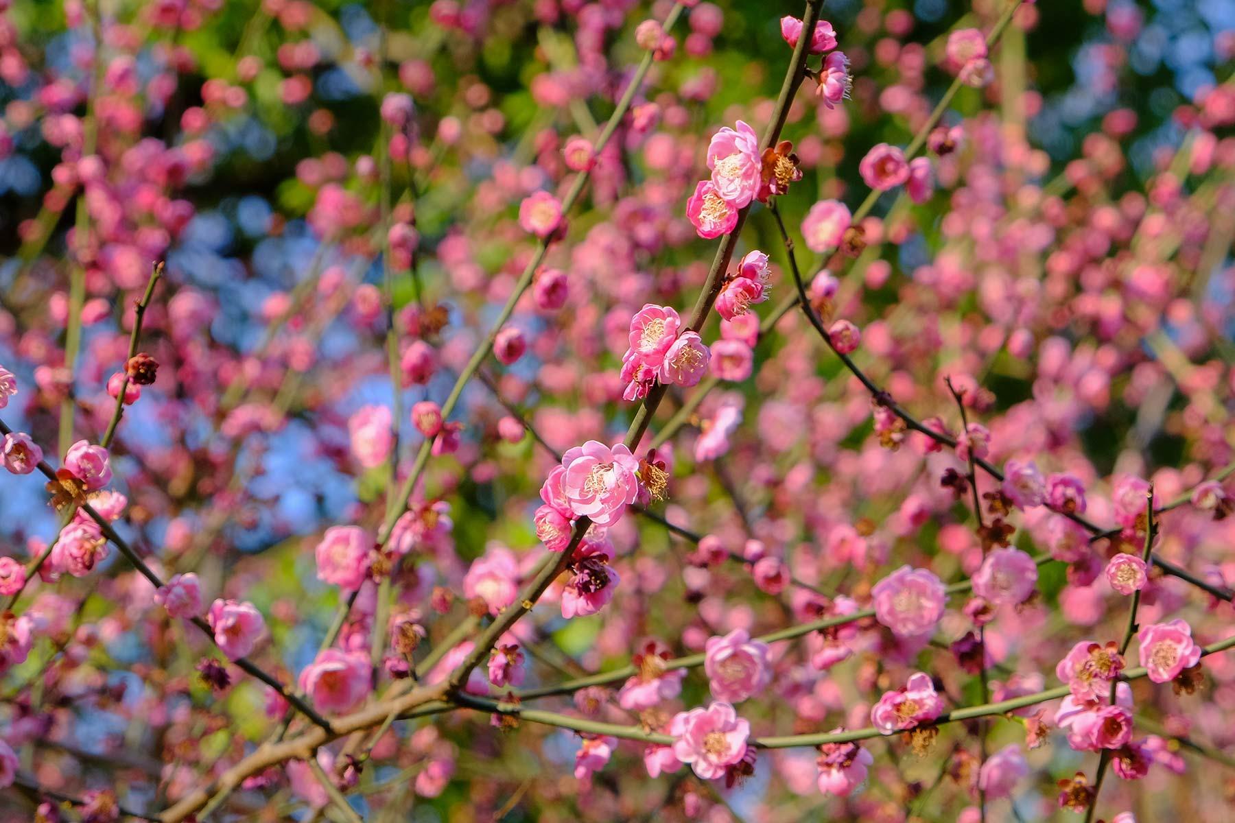 Blüten im Frühling im Zhongshan Park in Ningbo, China