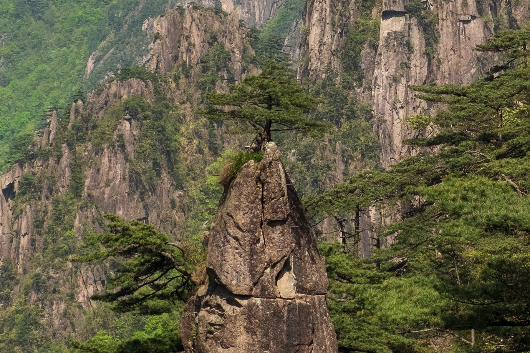 Kiefer im Huangshan Gebirge in Anhui, China im Frühling