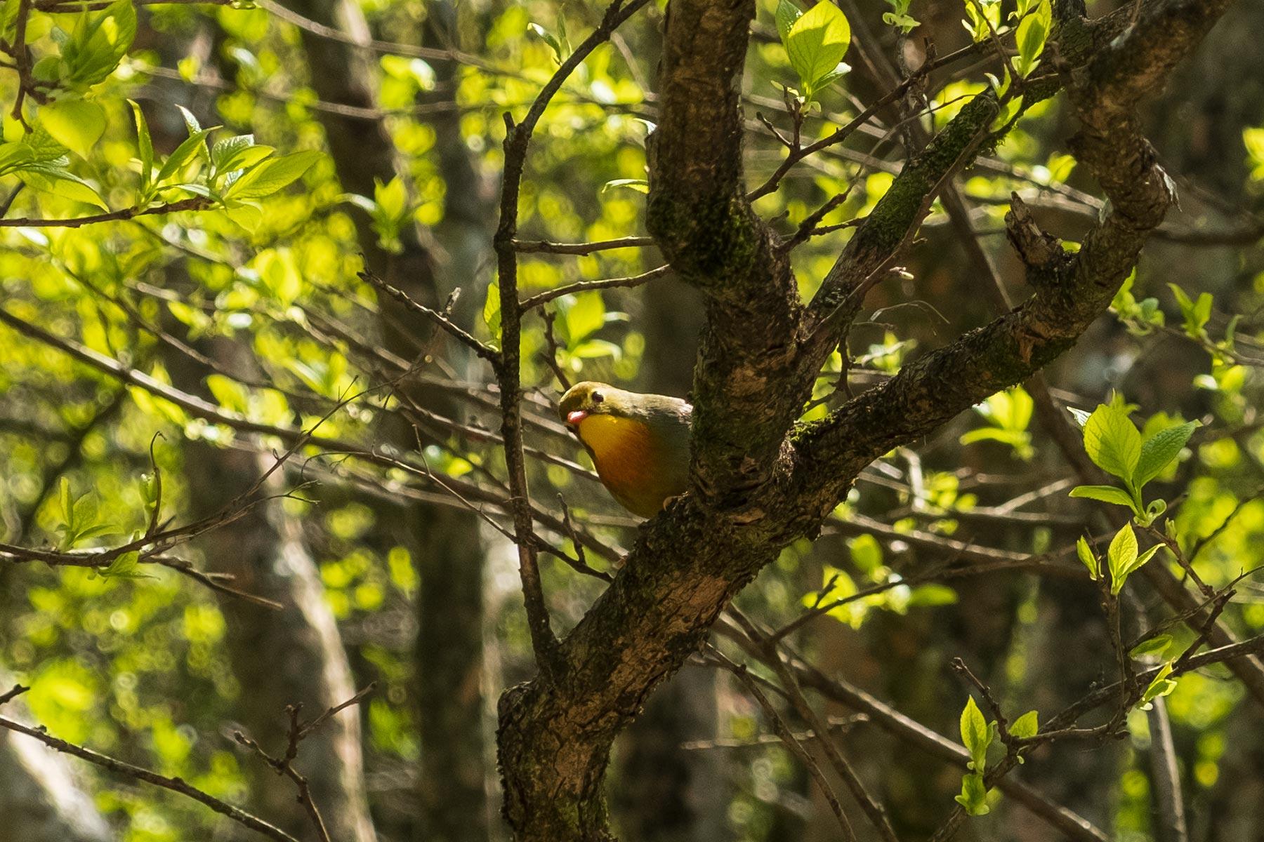 Sonnenvogel (Chinanachtigall) im Huangshan Gebirge in Anhui, China im Frühling