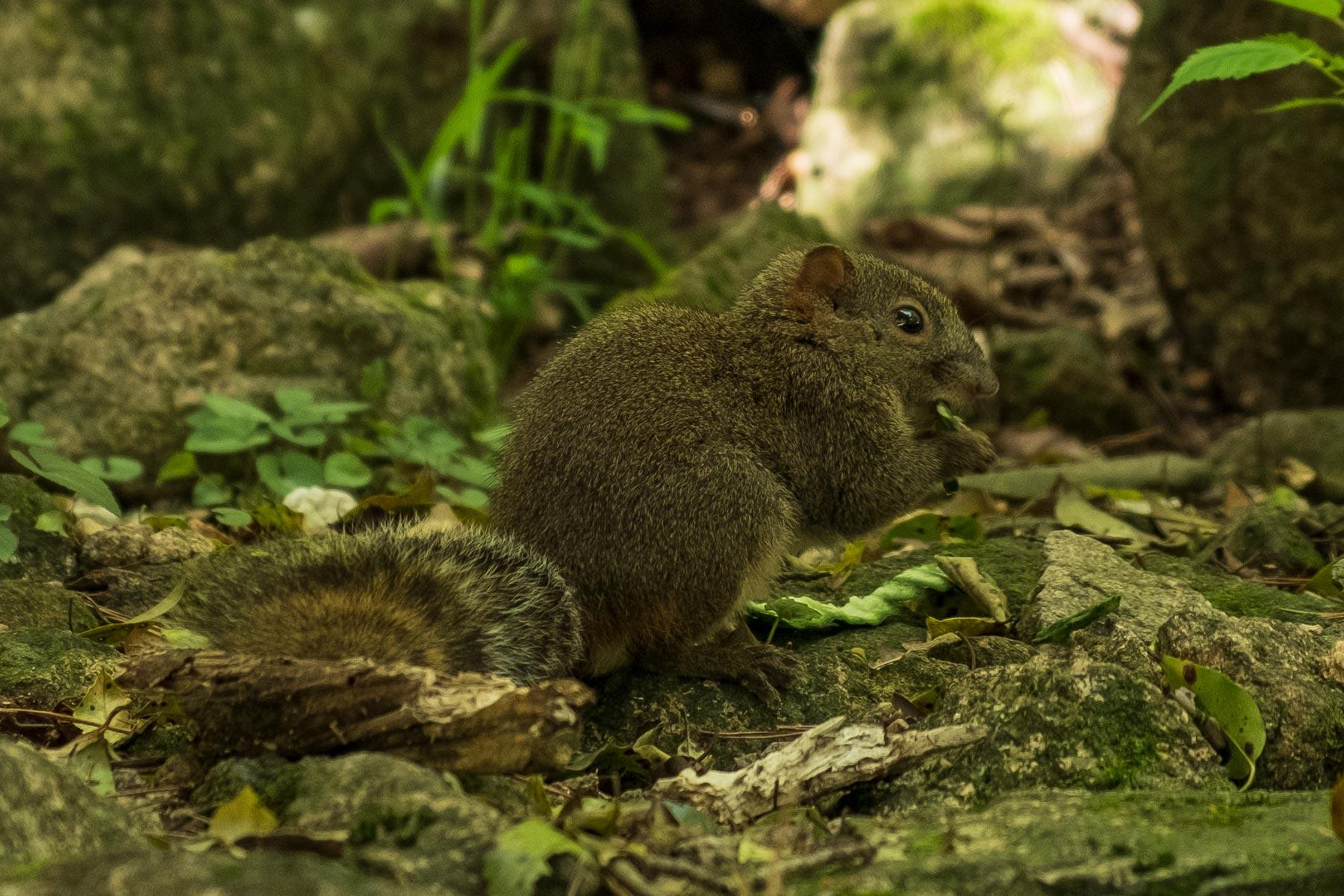 Eichhörnchen im Huangshan Gebirge in Anhui, China im Frühling