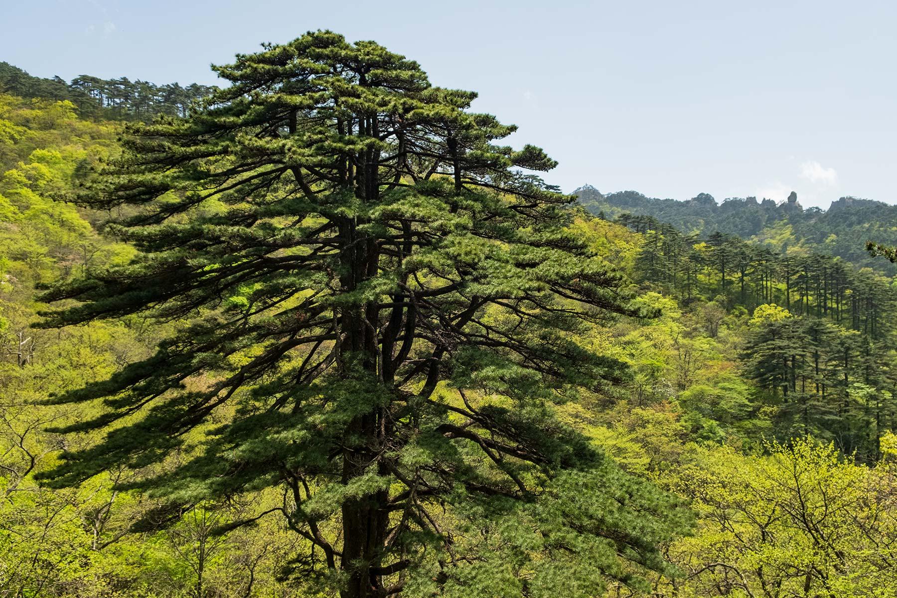 Unity Pine Kiefer im Huangshan Gebirge in Anhui, China im Frühling