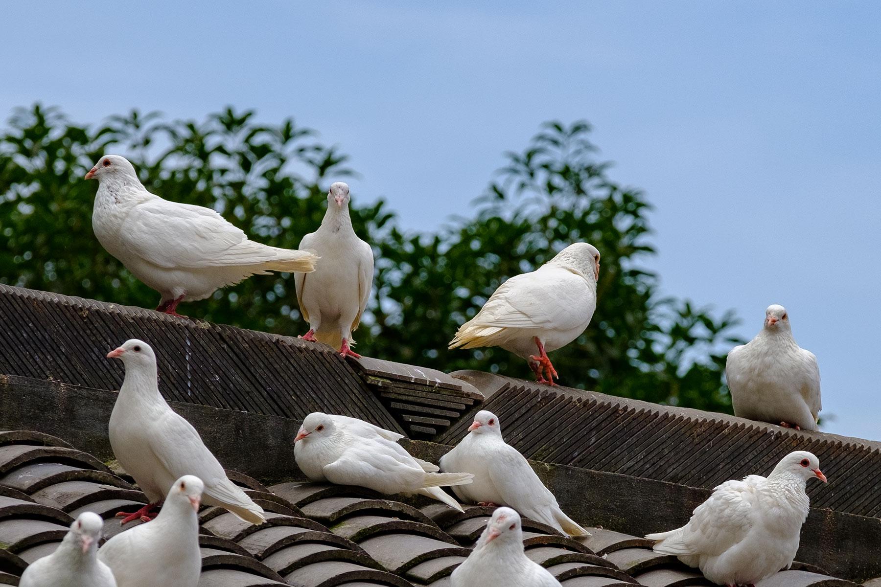 Weiße Tauben in Chongqing