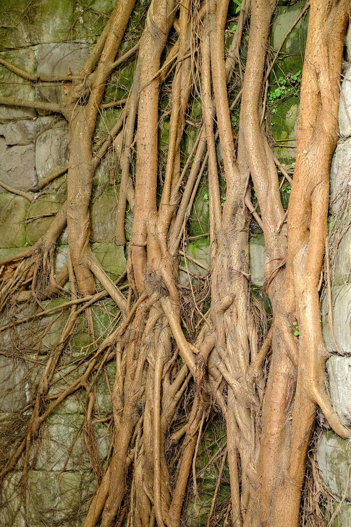 Wurzeln eines Baumes in Chongqing