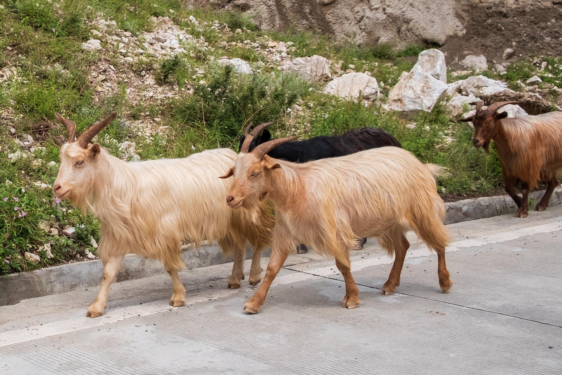 Ziegen auf Straße in China