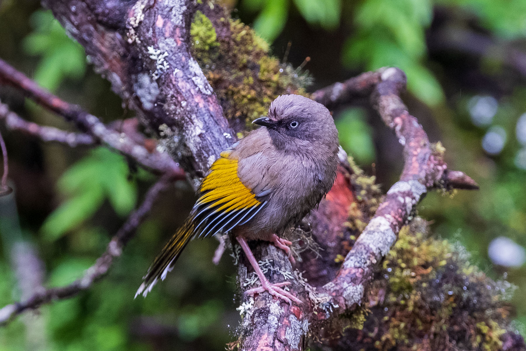 Nahaufnahme Vogel im Vogel im Hailuogou Gletscher Park in Sichuan