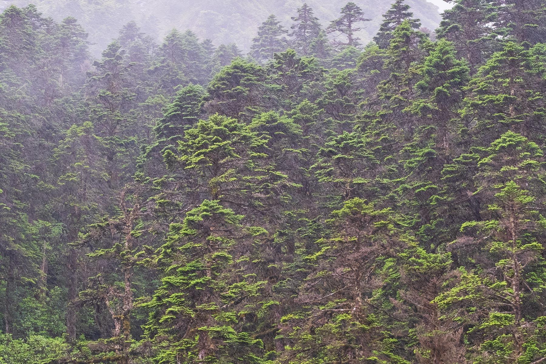 Regen im Wald im Vogel im Hailuogou Gletscher Park in Sichuan