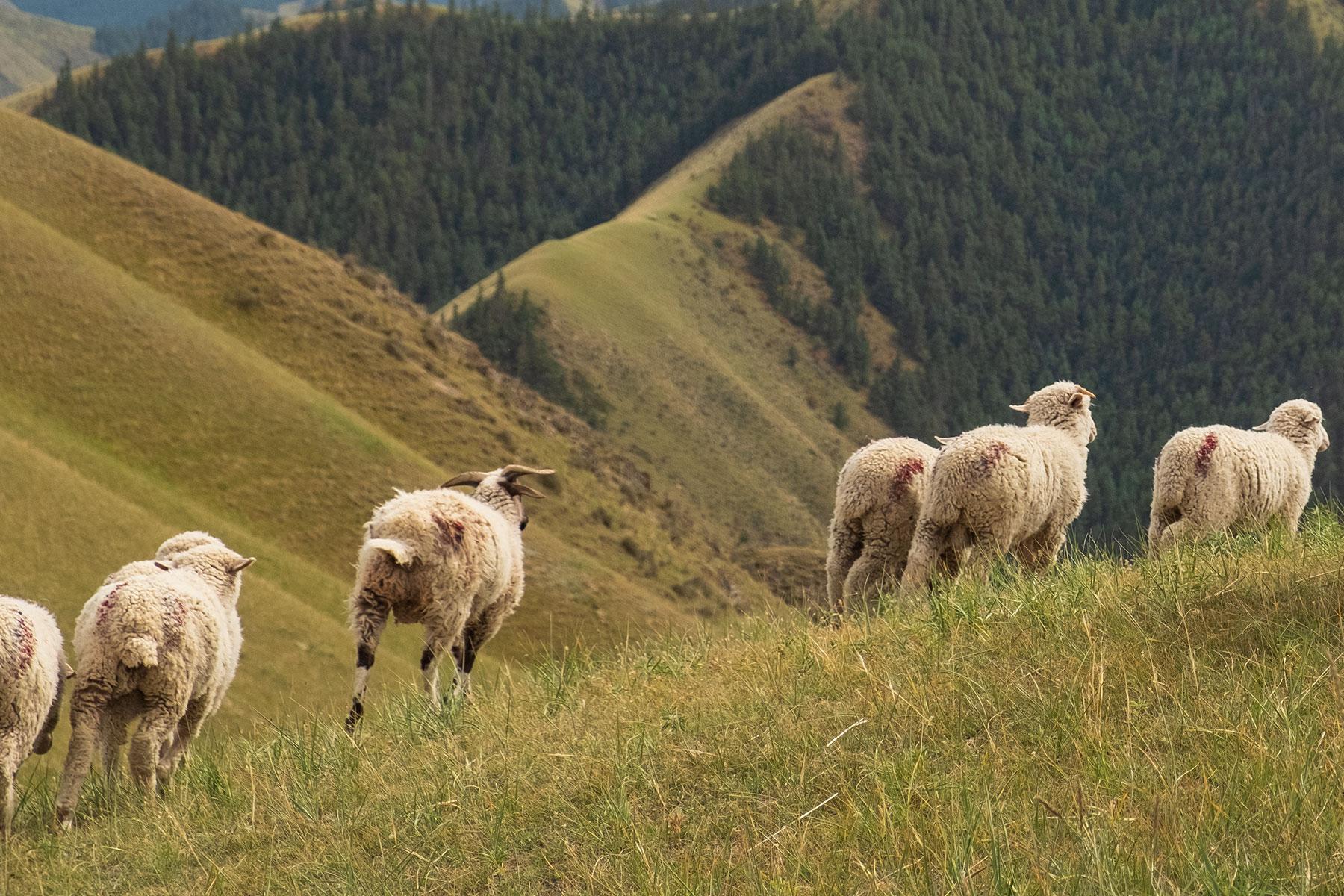 Schafe im Kangle Grassland in Gansu in China