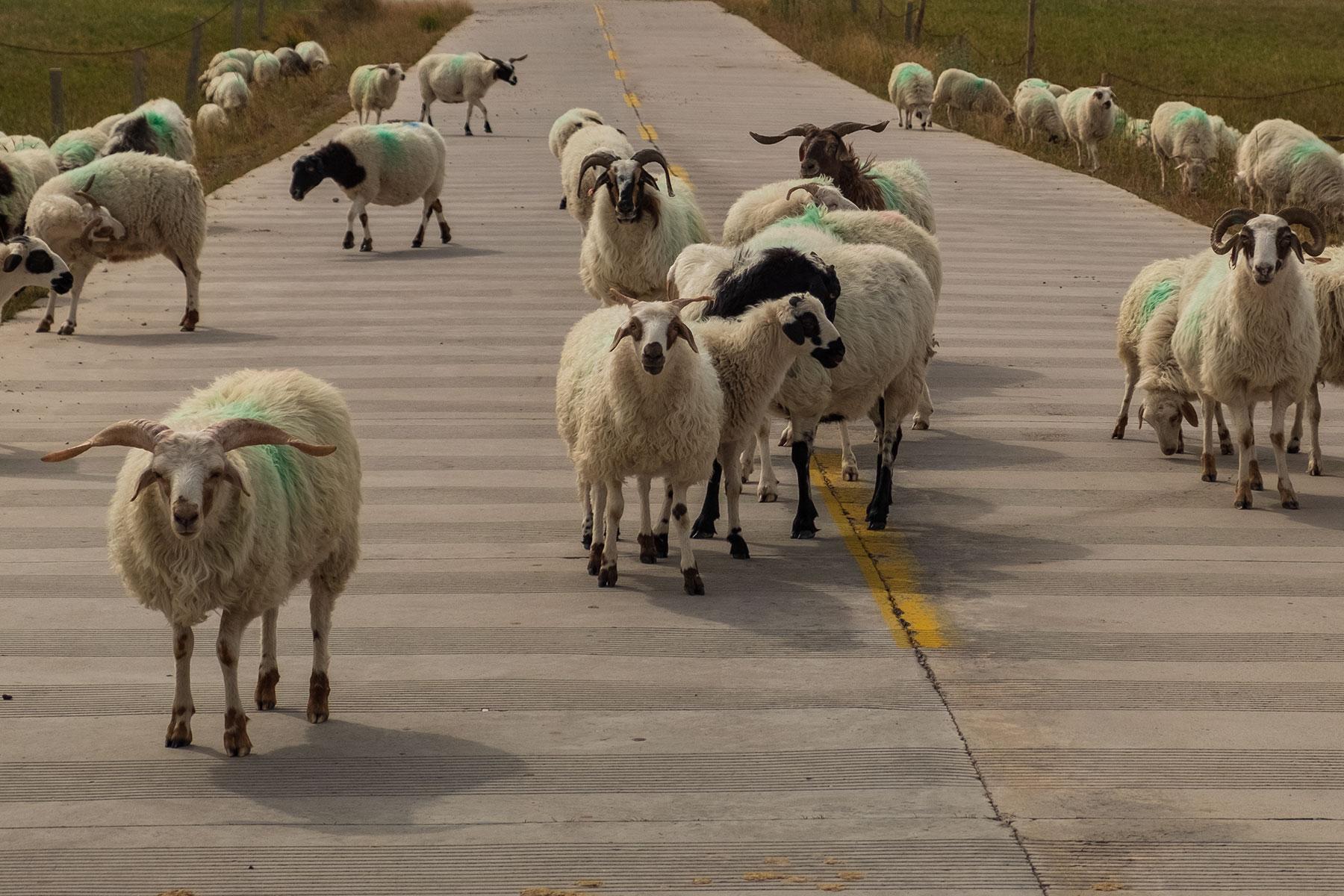 Schafe auf der Straßen im Kangle Grassland in Gansu in China