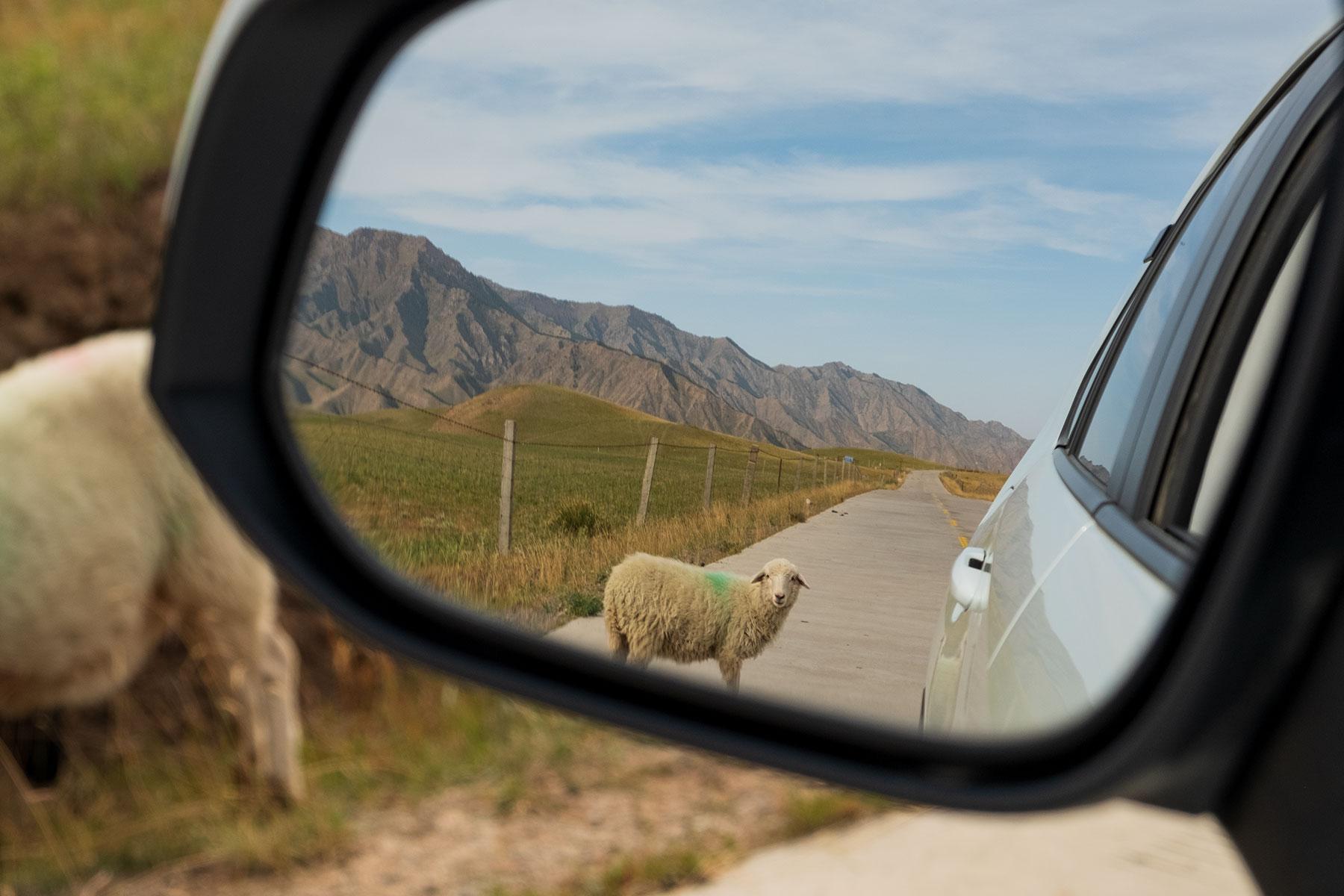 Schaf im Rückspiegel im Kangle Grassland in Gansu in China
