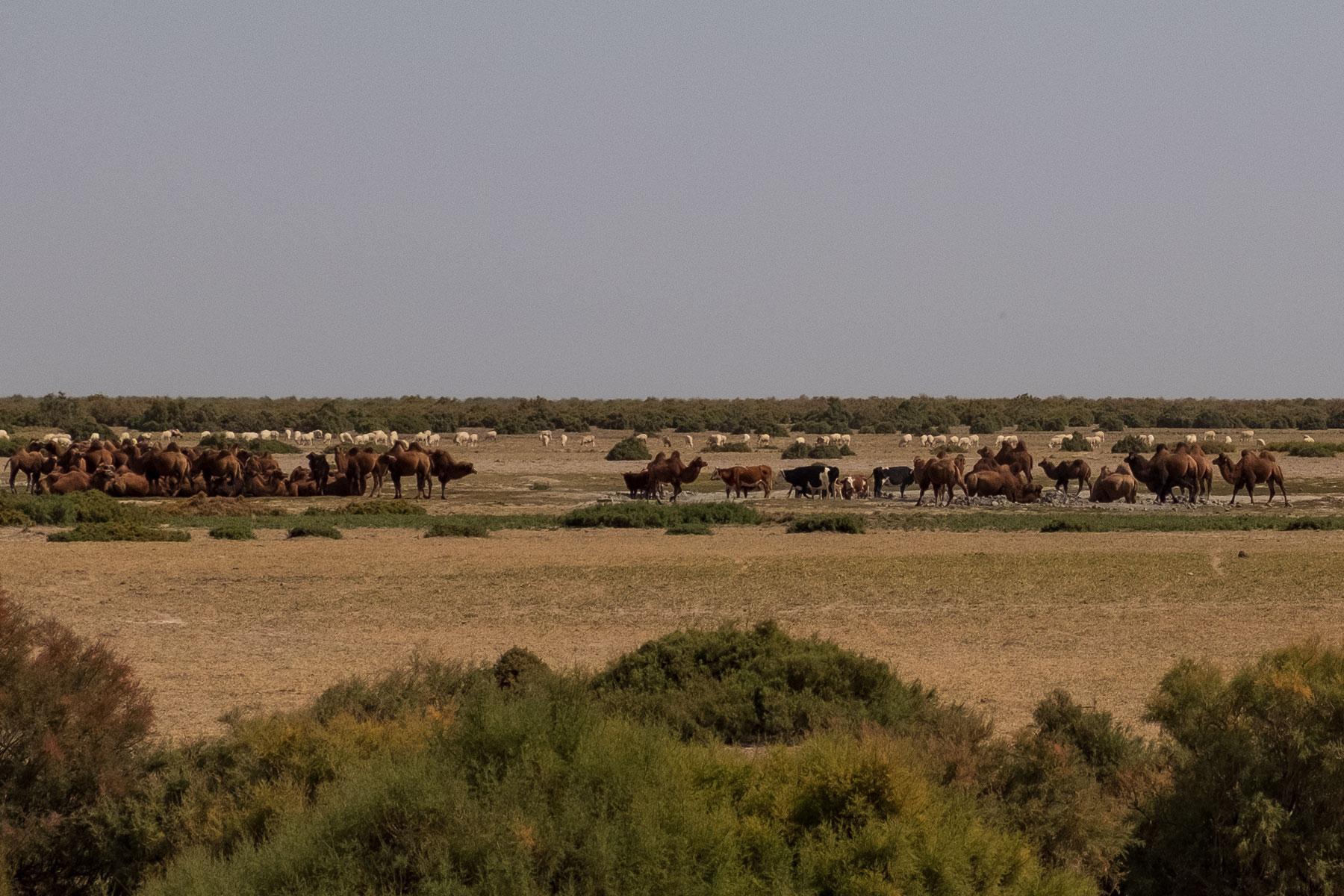 Kamele und Kühe an einer Wasserstelle in Gansu in China