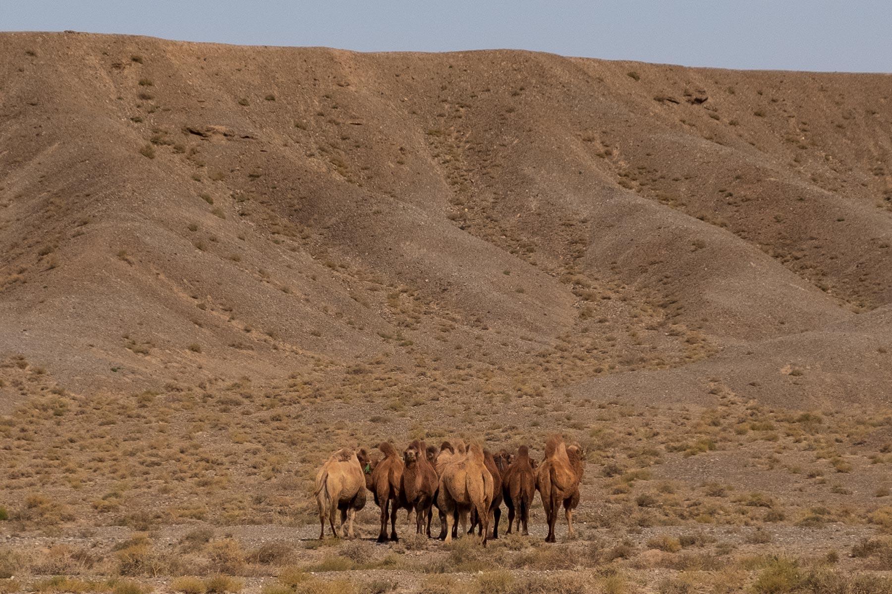 Kamele in Gansu in China