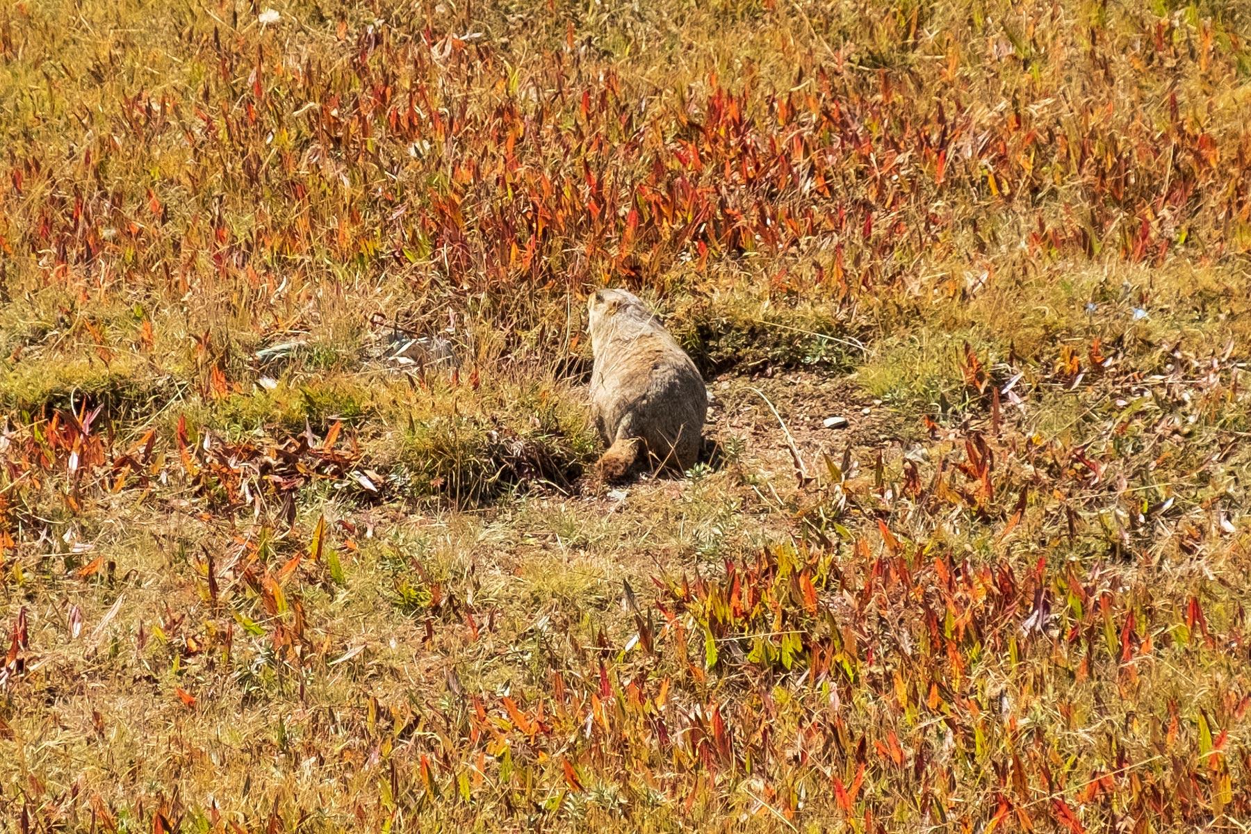 Murmeltier in Gansu in China in den Bergen
