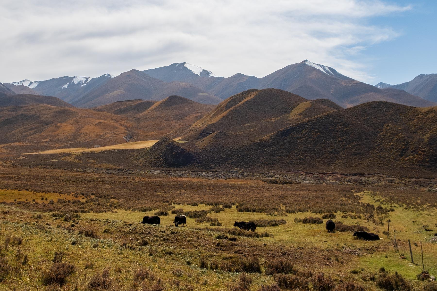 Yaks in Gansu China in den Bergen