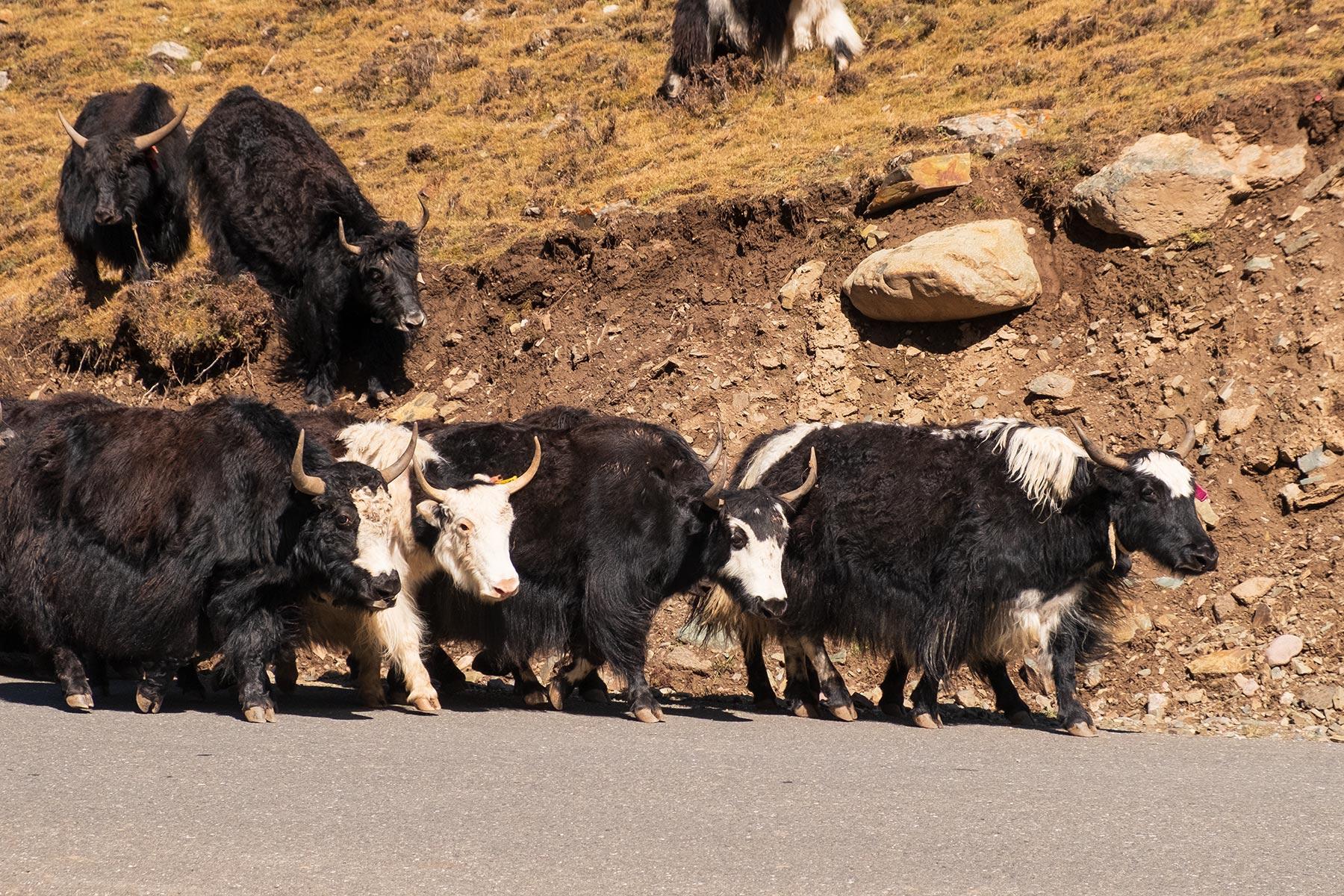 Yaks auf der Straße in Gansu China in den Bergen