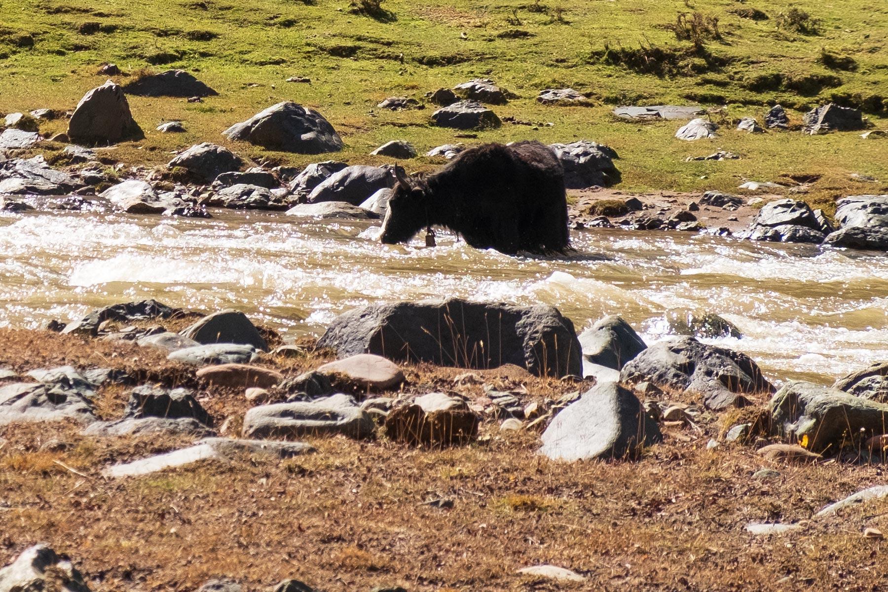 Yak trinkt Wasser aus einem Fluß in Gansu China