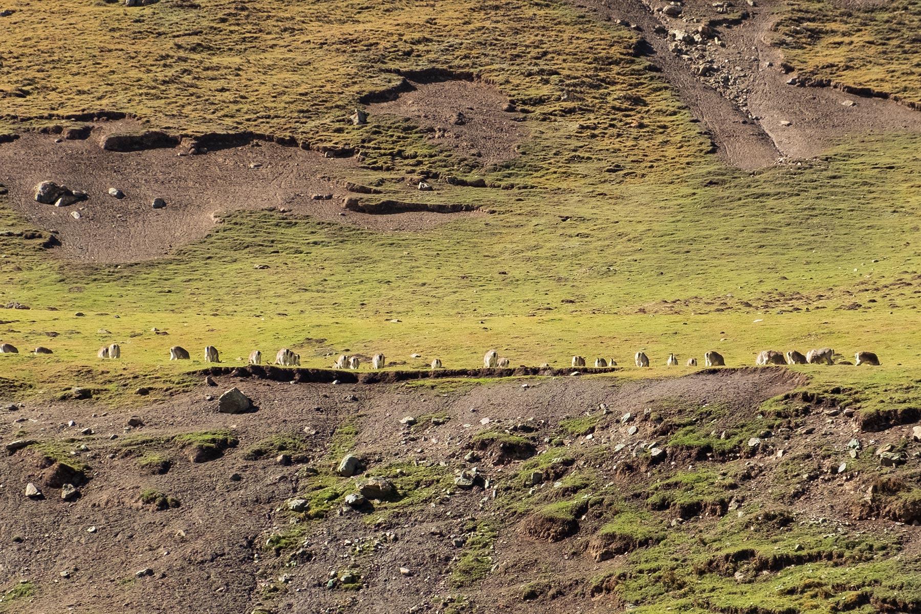 Fahrt von Gansu nach Qinghai durch die Berge mit Rehen