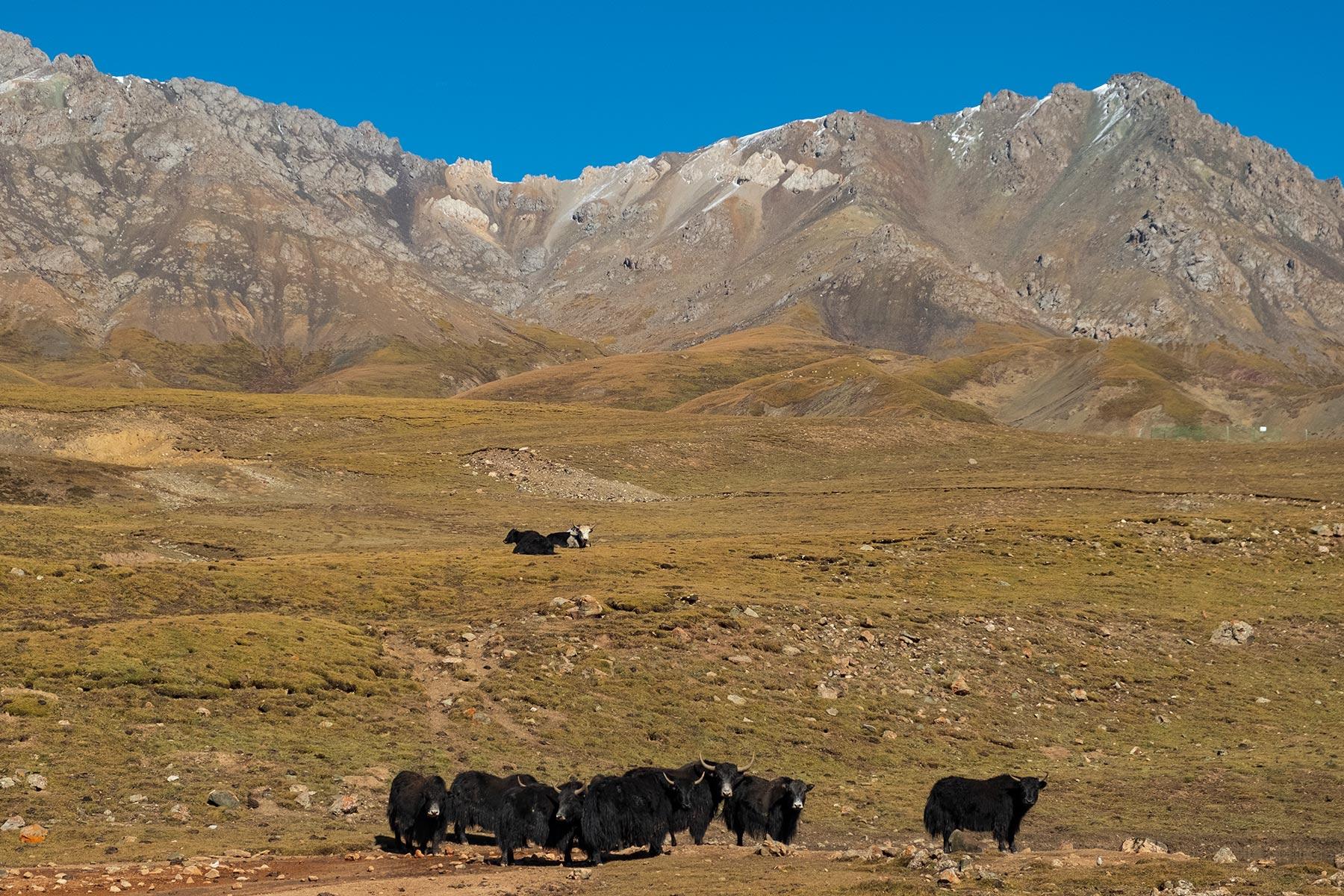 Fahrt von Gansu nach Qinghai durch die Berge mit schwarzen Yaks