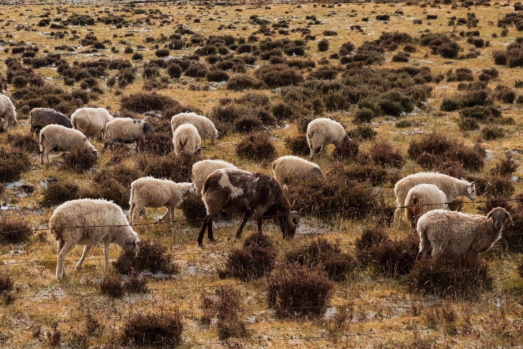 Fahrt von Gansu nach Qinghai durch die Berge mit Schafen