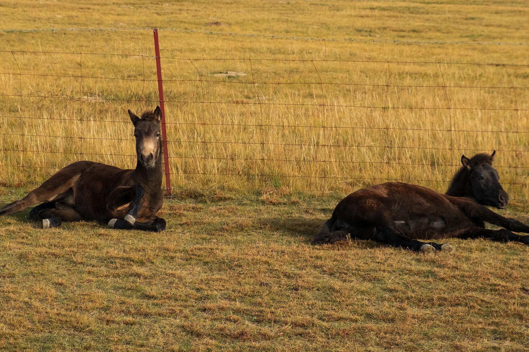 Zwei Fohlen in Qinghai