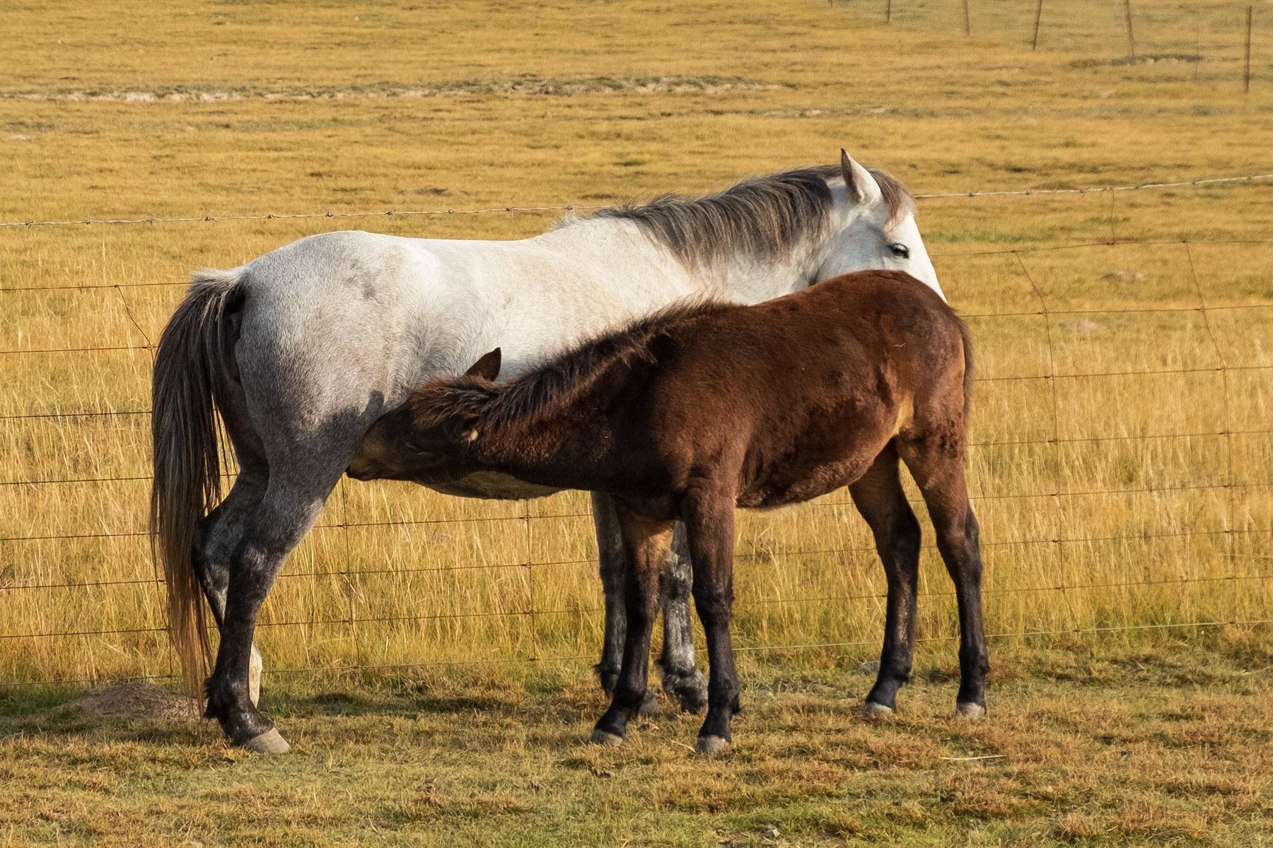 Fohlen trinkt bei Mutter Pferd in Qinghai