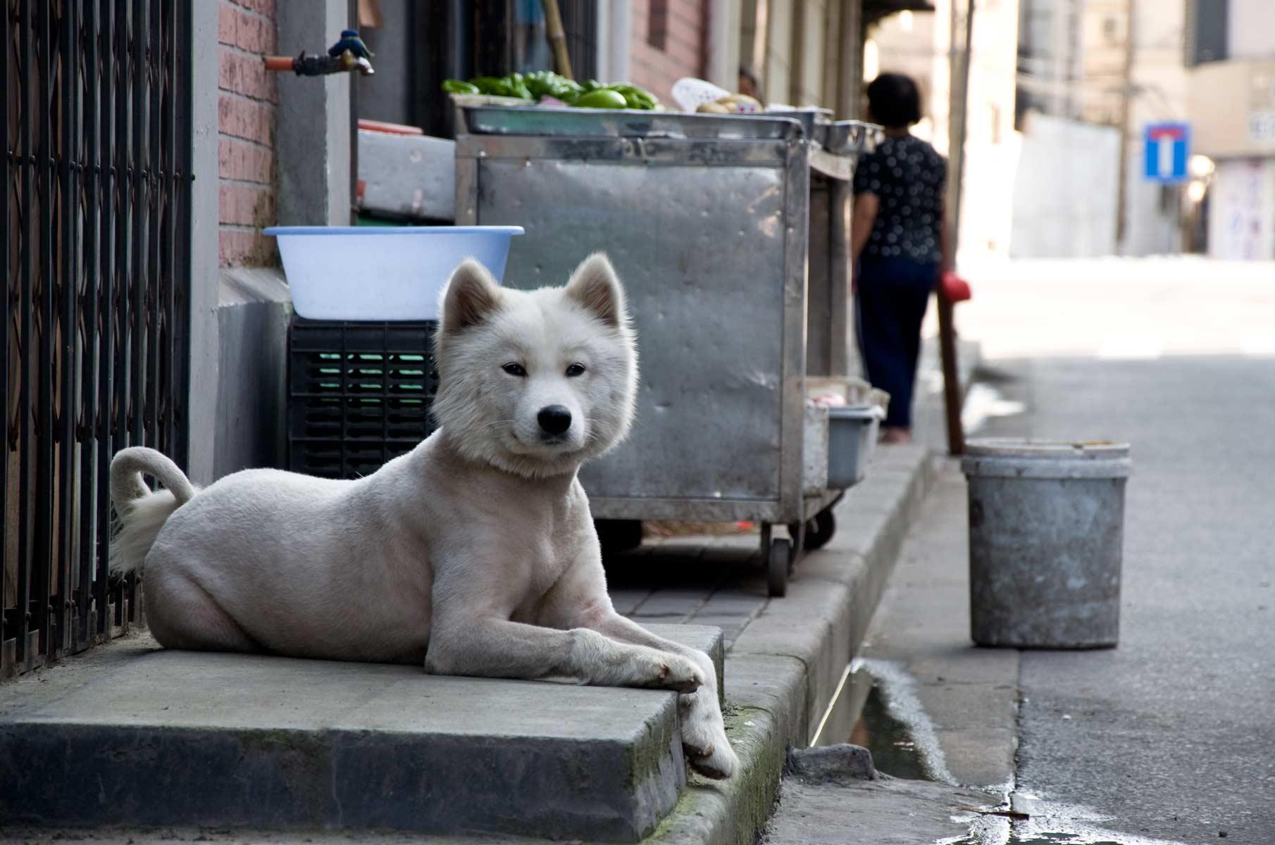 Rasierter Hund auf der Straße in Shanghai, China
