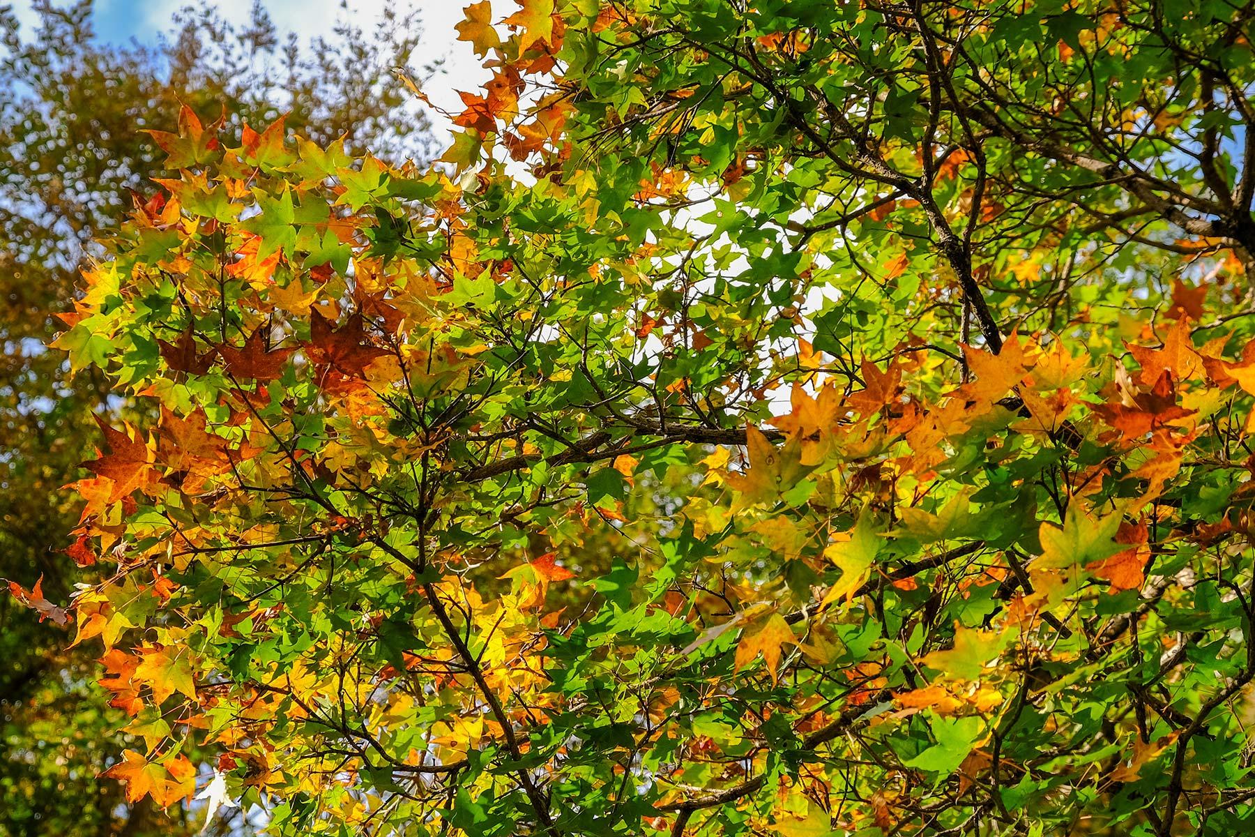 An diesem Baum wachsen im Sommer Orangen. Auch er wird wohl bald verschwinden.