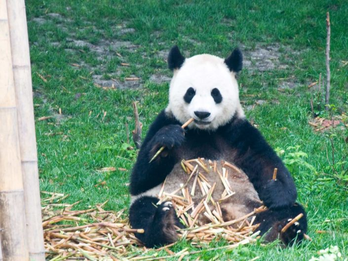 Chengdu, Sichuan – Mao, Pandas Emei Shan