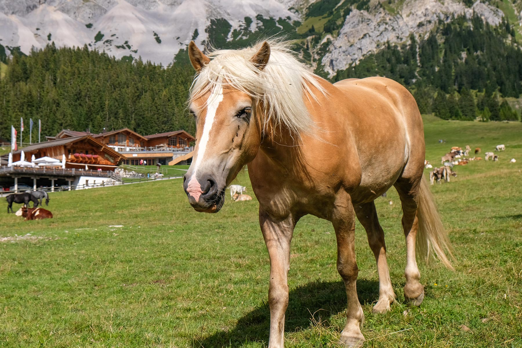 Pferd auf der Ehrwalder Alm, Tiroler Zugspitz Arena