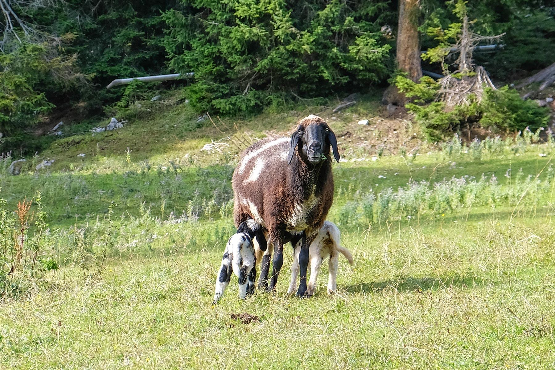 Schaf mit Lämmern auf der Ehrwalder Alm, Tiroler Zugspitz Arena