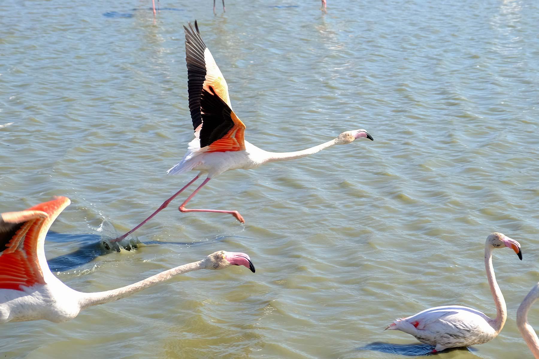 Flamingos im Parc Ornothologique de Pont Gau bei Arles, Frankreich