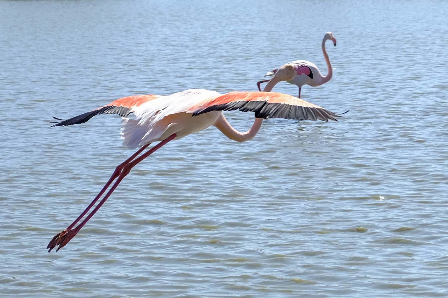 Flamingo im Parc Ornothologique de Pont Gau bei Arles, Frankreich