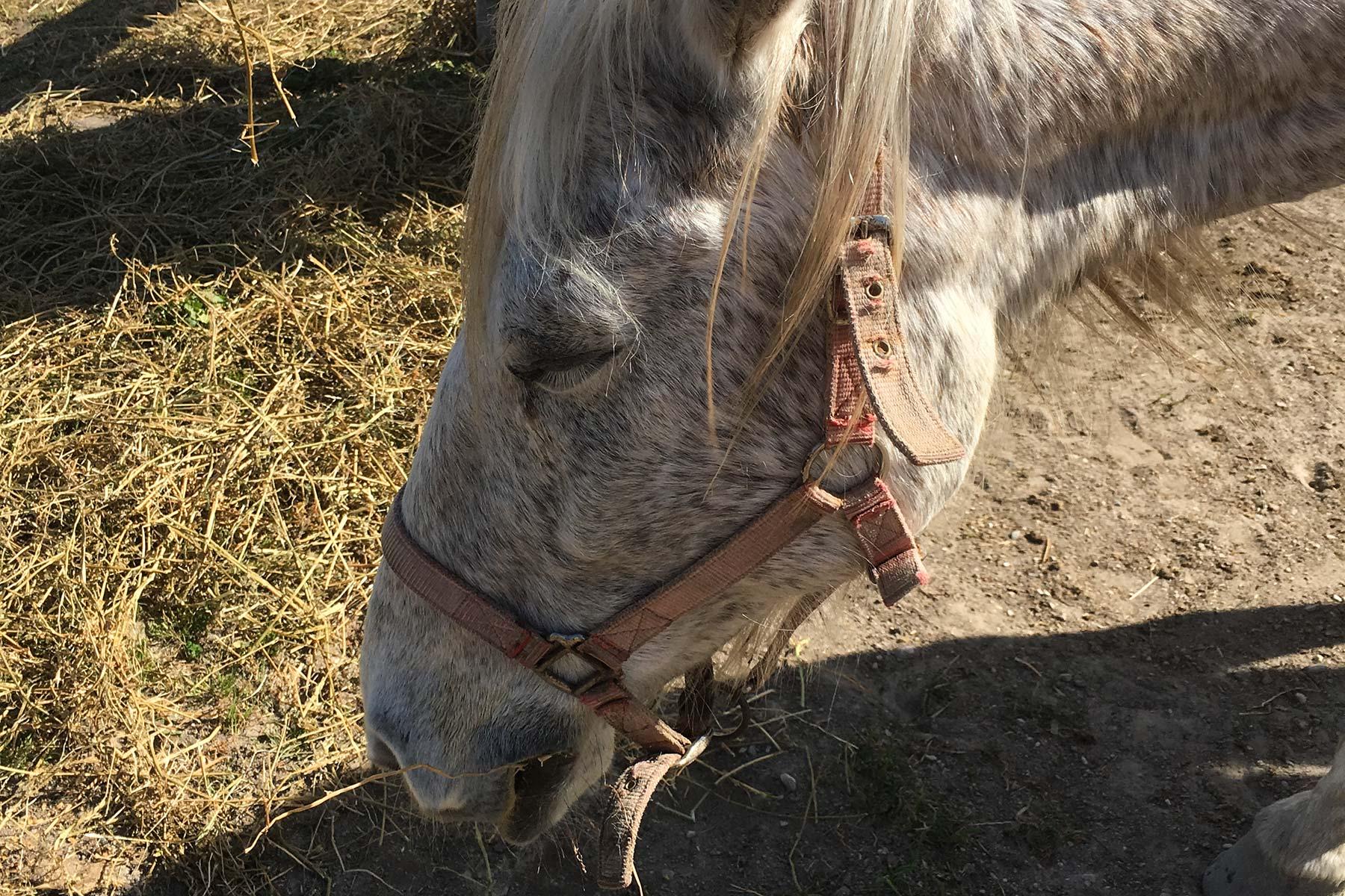 Camargue Pferd im Naturpark bei Arles, Frankreich