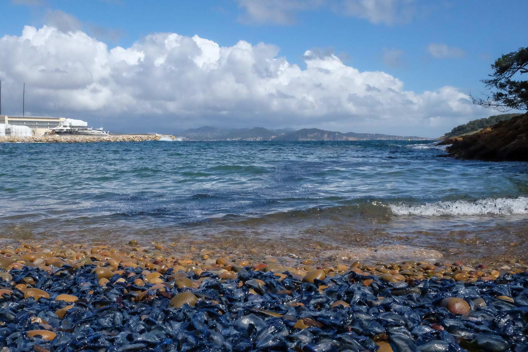Segelquallen am Strand von La Ciotat, Frankreich
