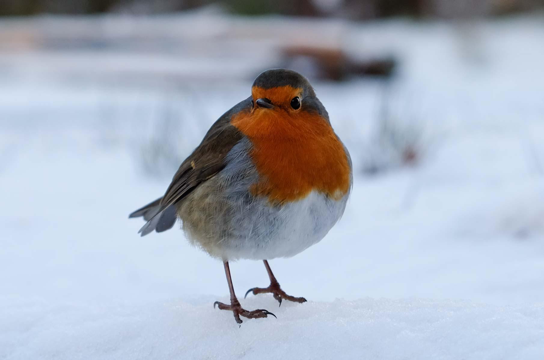 Rotkehlchen in Schottland im Winter