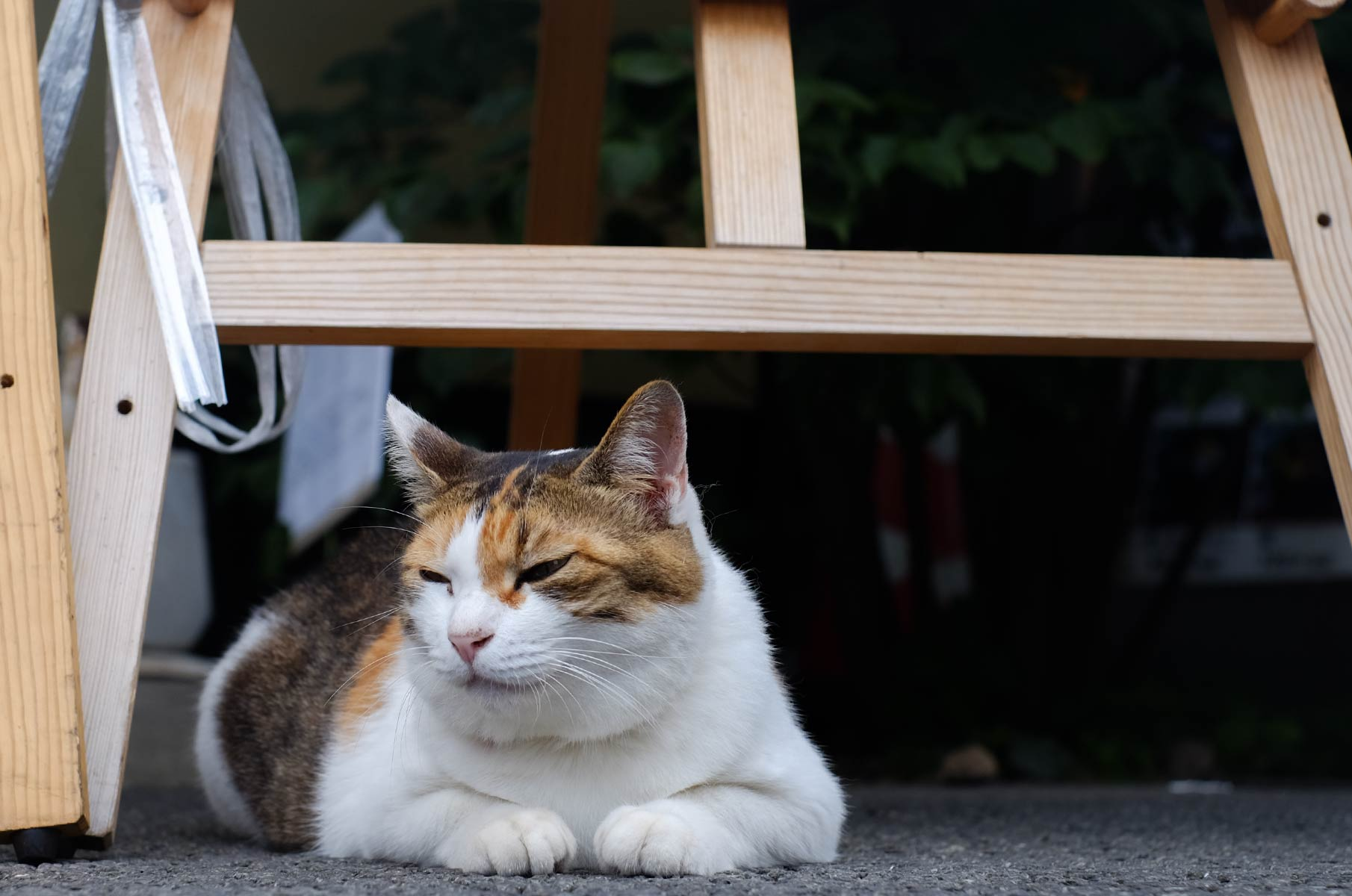 Grumpy cat in Hakone Gora, Japan