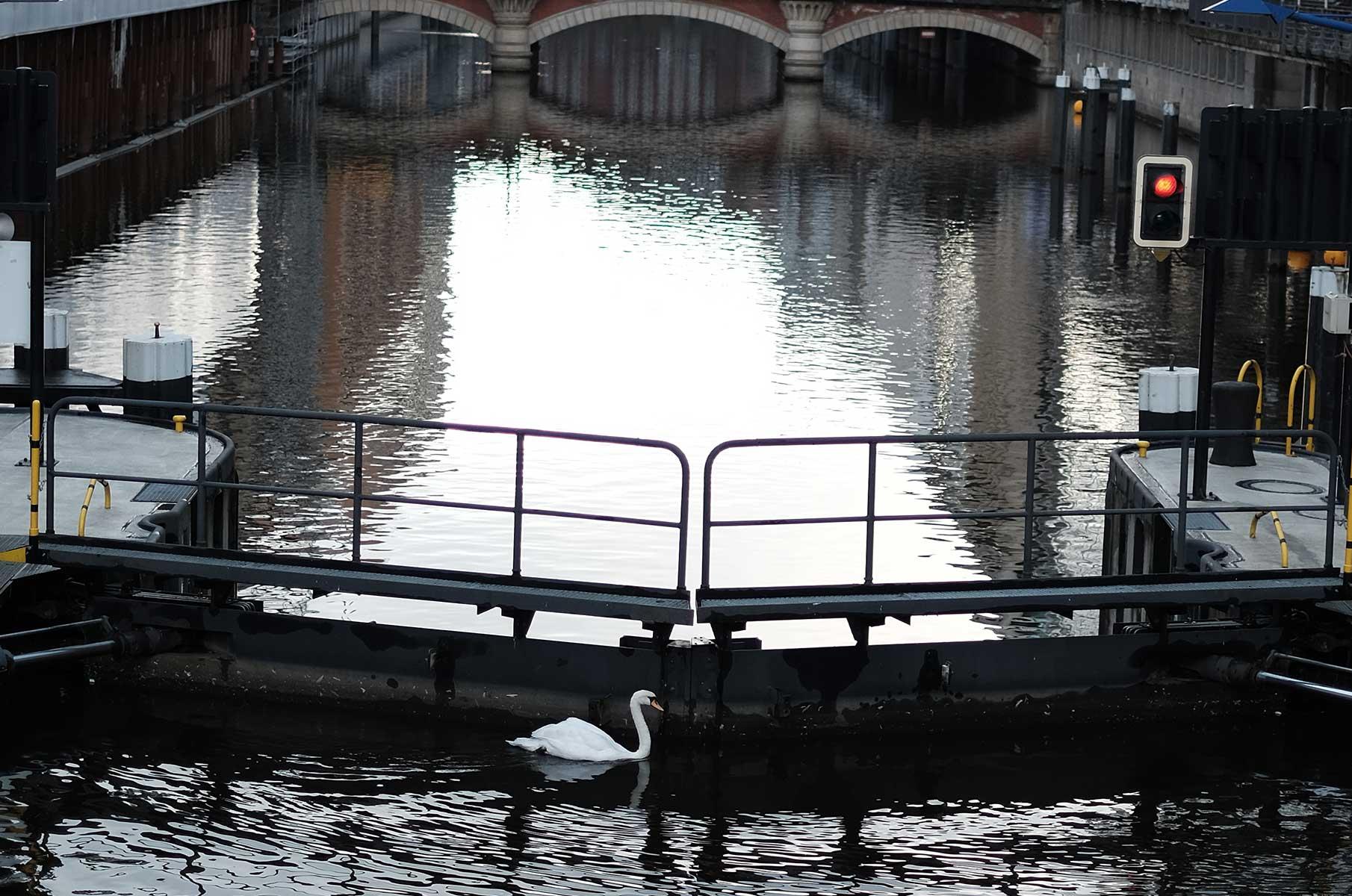 Weißer Schwan in der Kleinen Alster in Hamburg
