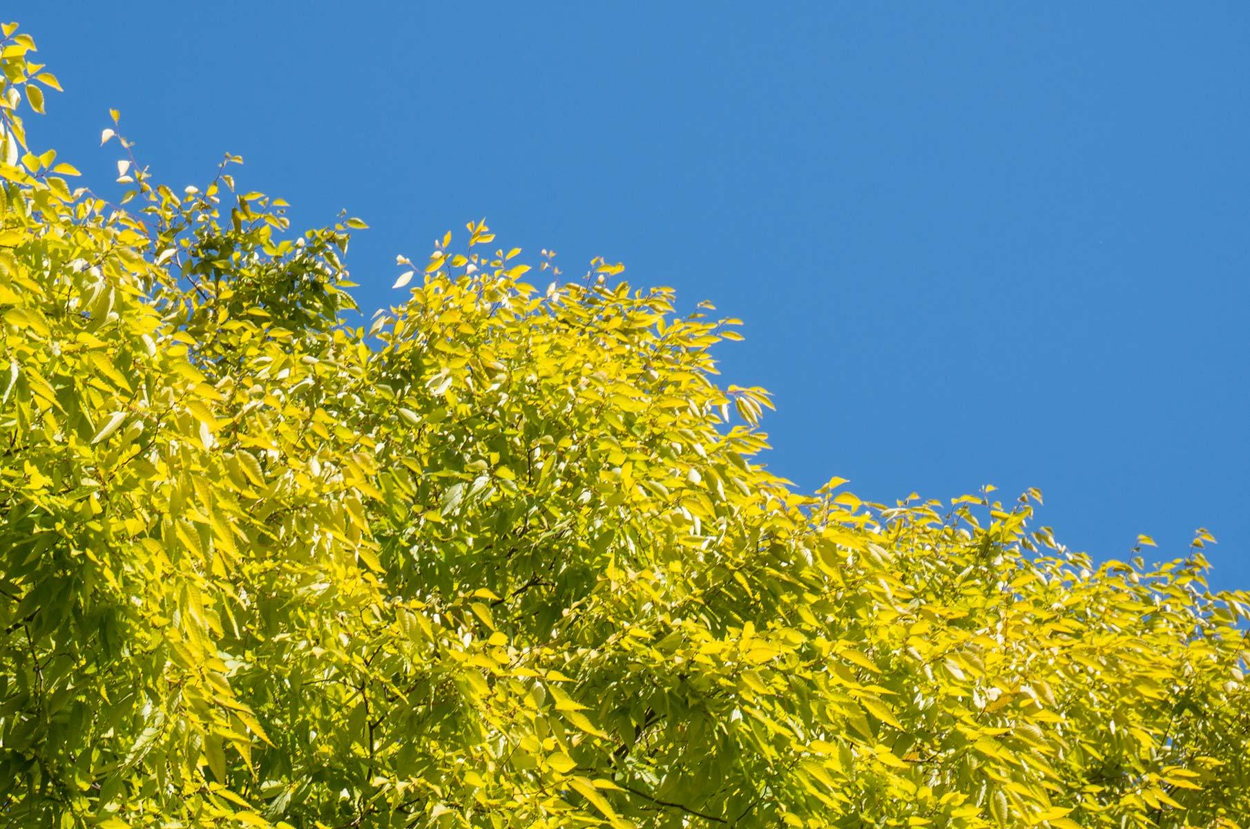 Gelbe Blätter in Hiroshima, Japan