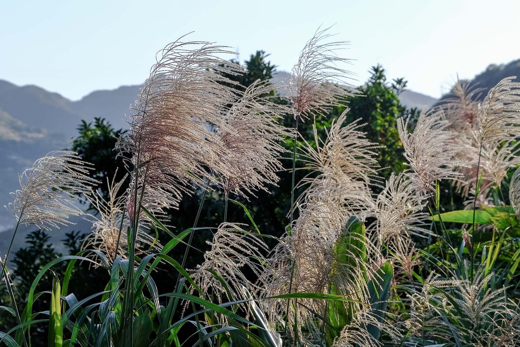 Natur Gräser auf dem Weg nach Jiufen