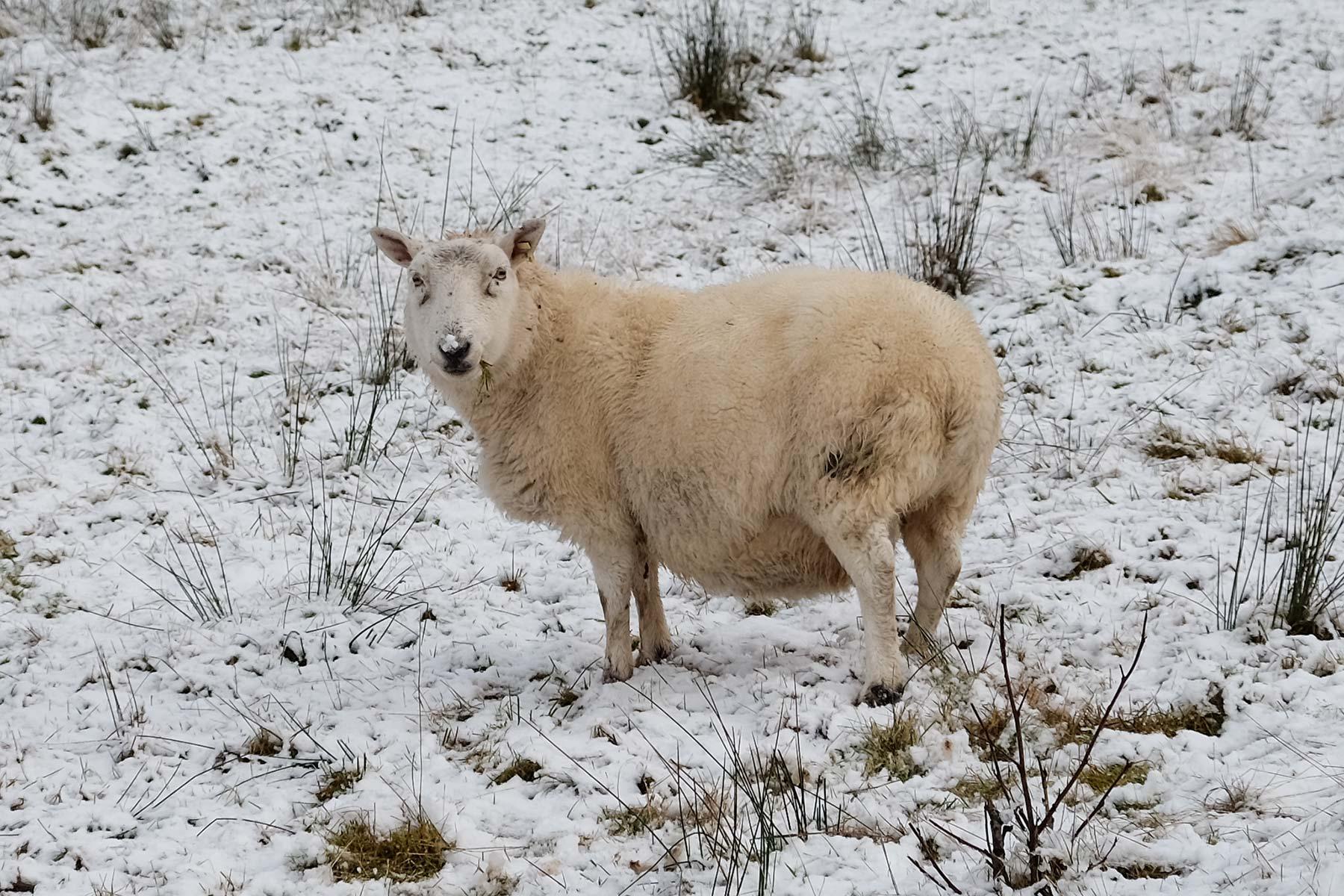 Schaf im Schnee auf der Isle of Skye, Schottland