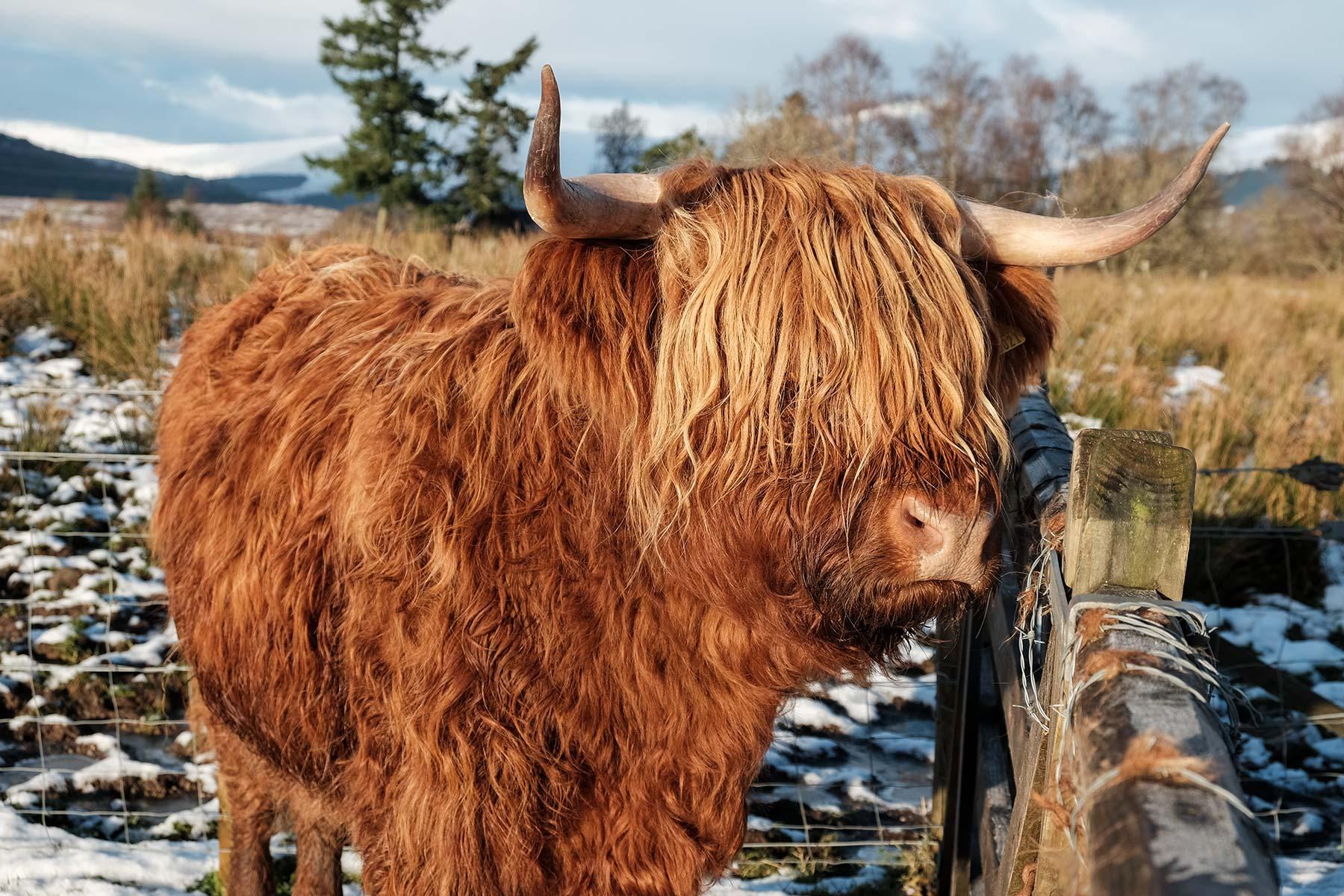 Schottisches Hochlandrind im Winter auf der Isle of Skye, Schottland