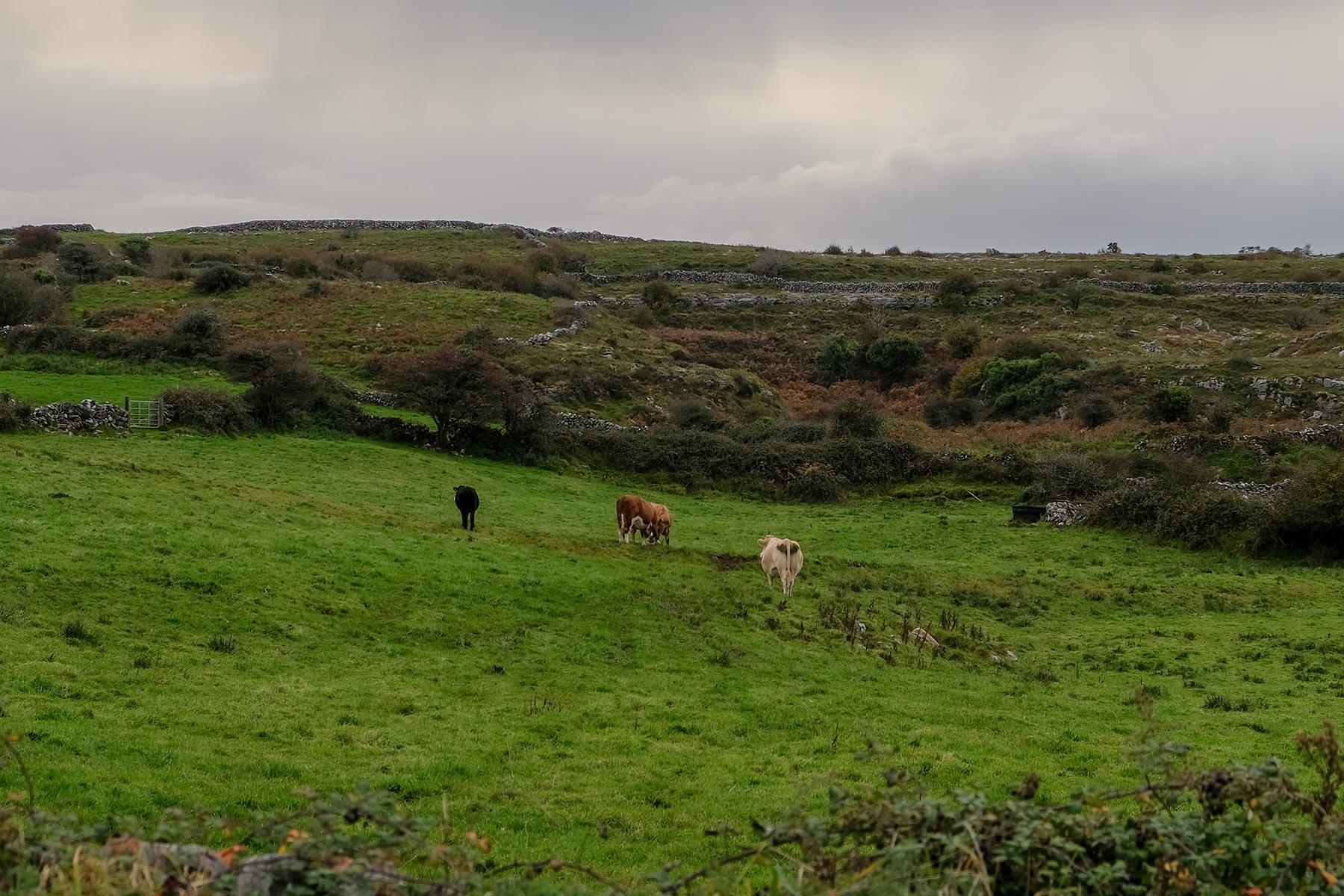 Wiese mit Kühen im Burren Nationalpark