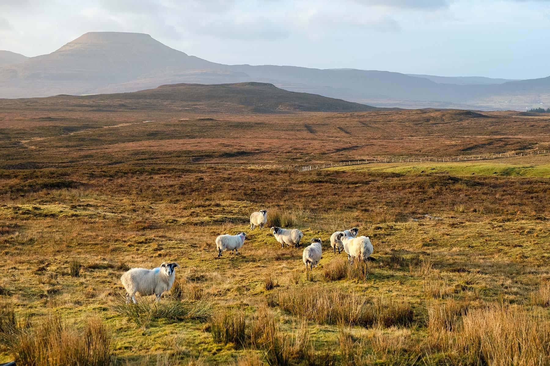 Schafe auf der Isle of Skye, Schottland