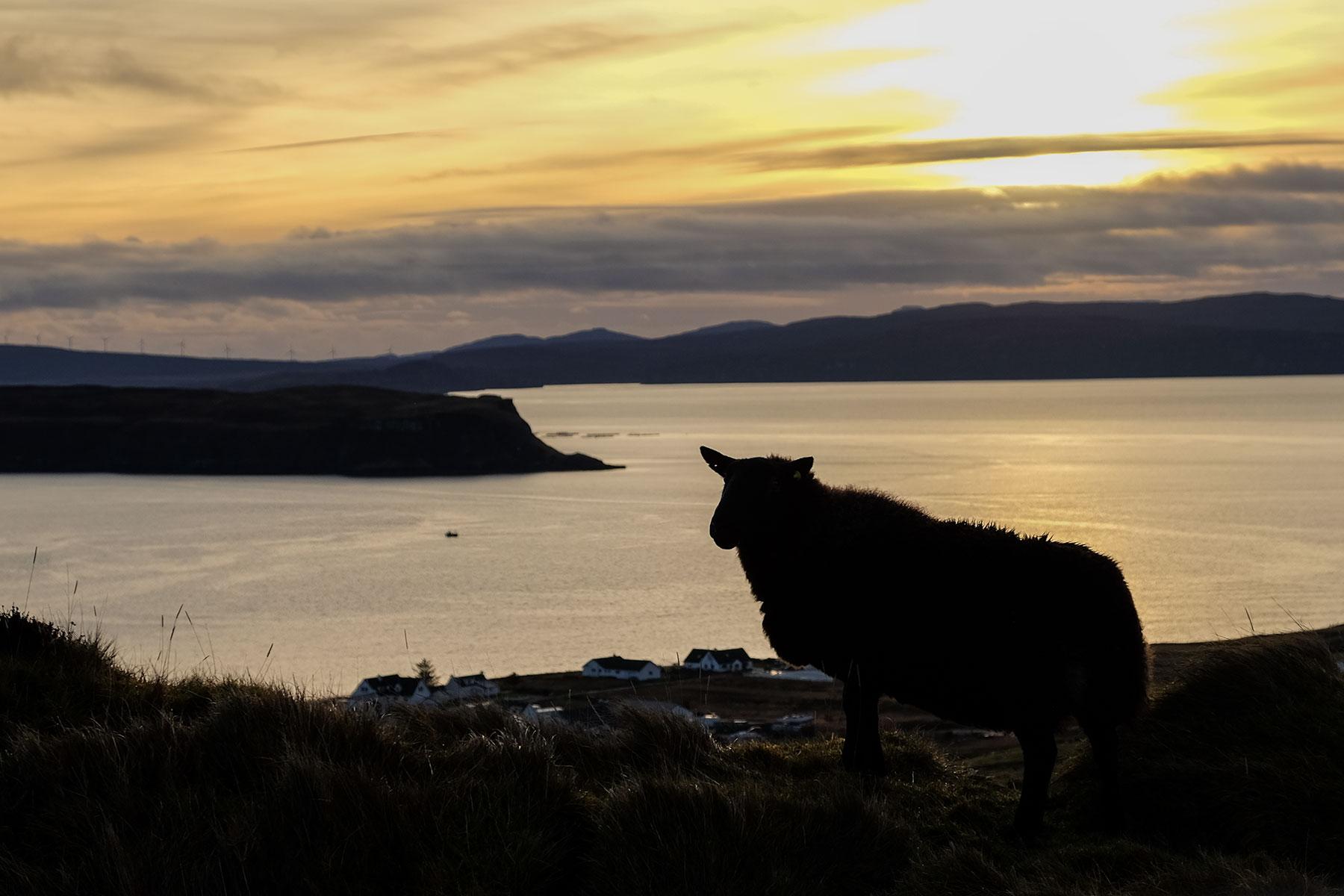 Schaf auf der Isle of Skye bei Sonnenuntergang, Schottland