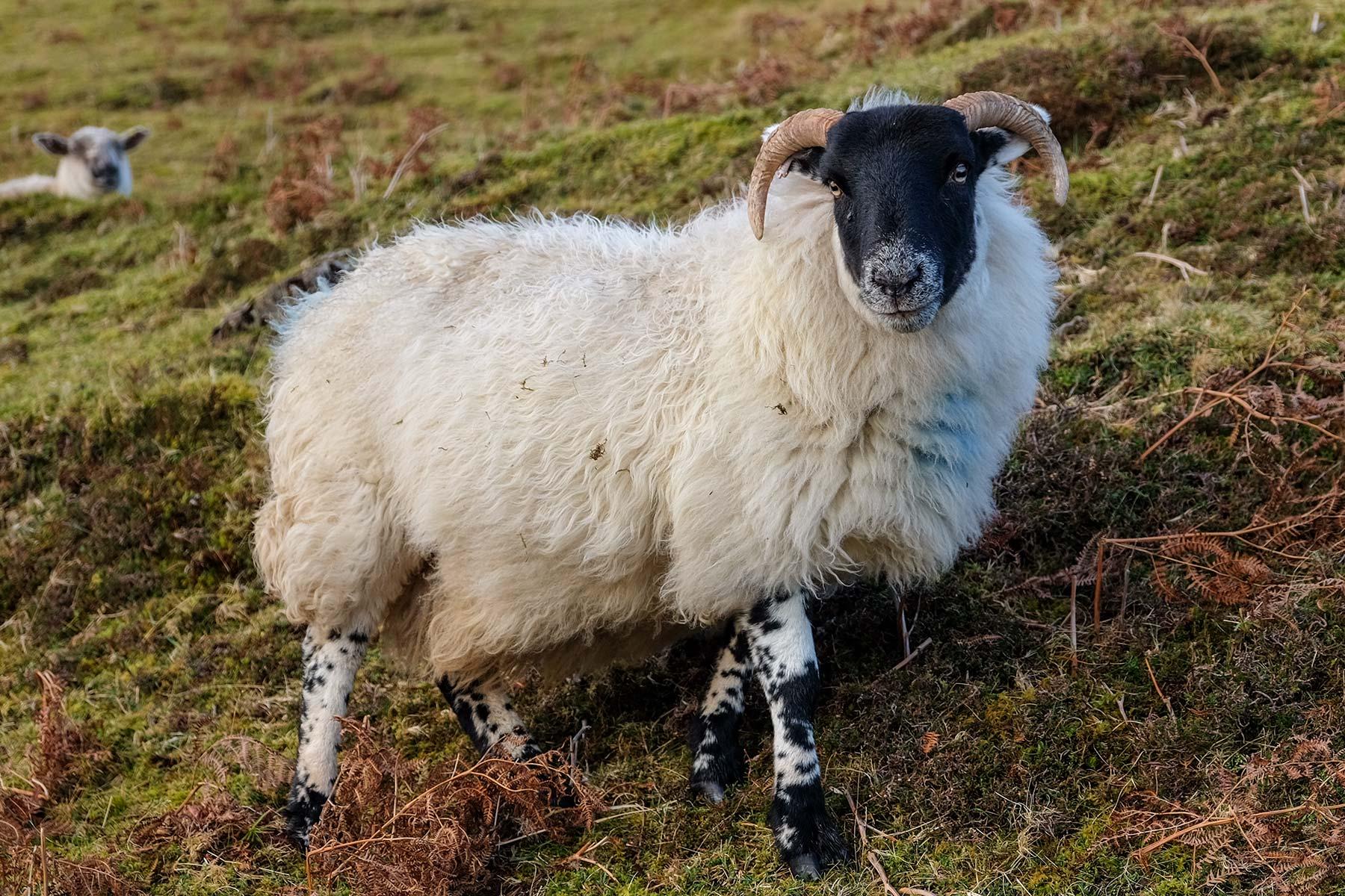 Schaf auf der Isle of Skye, Schottland