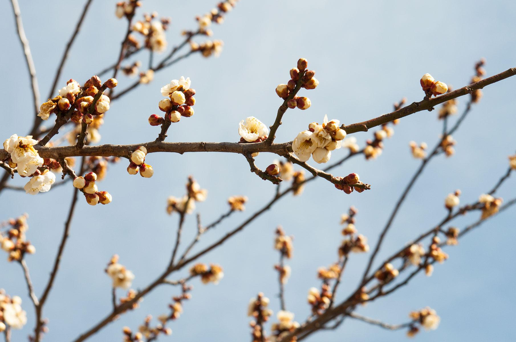 Blüten am Lake Kawaguchi